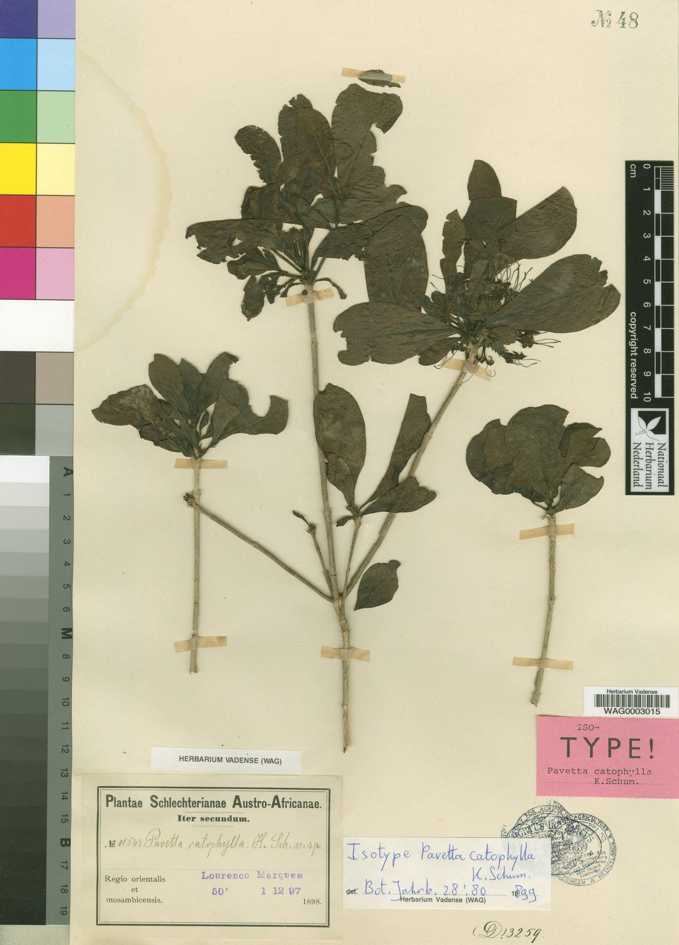 WAG0003015   Pavetta catophylla K.Schum.