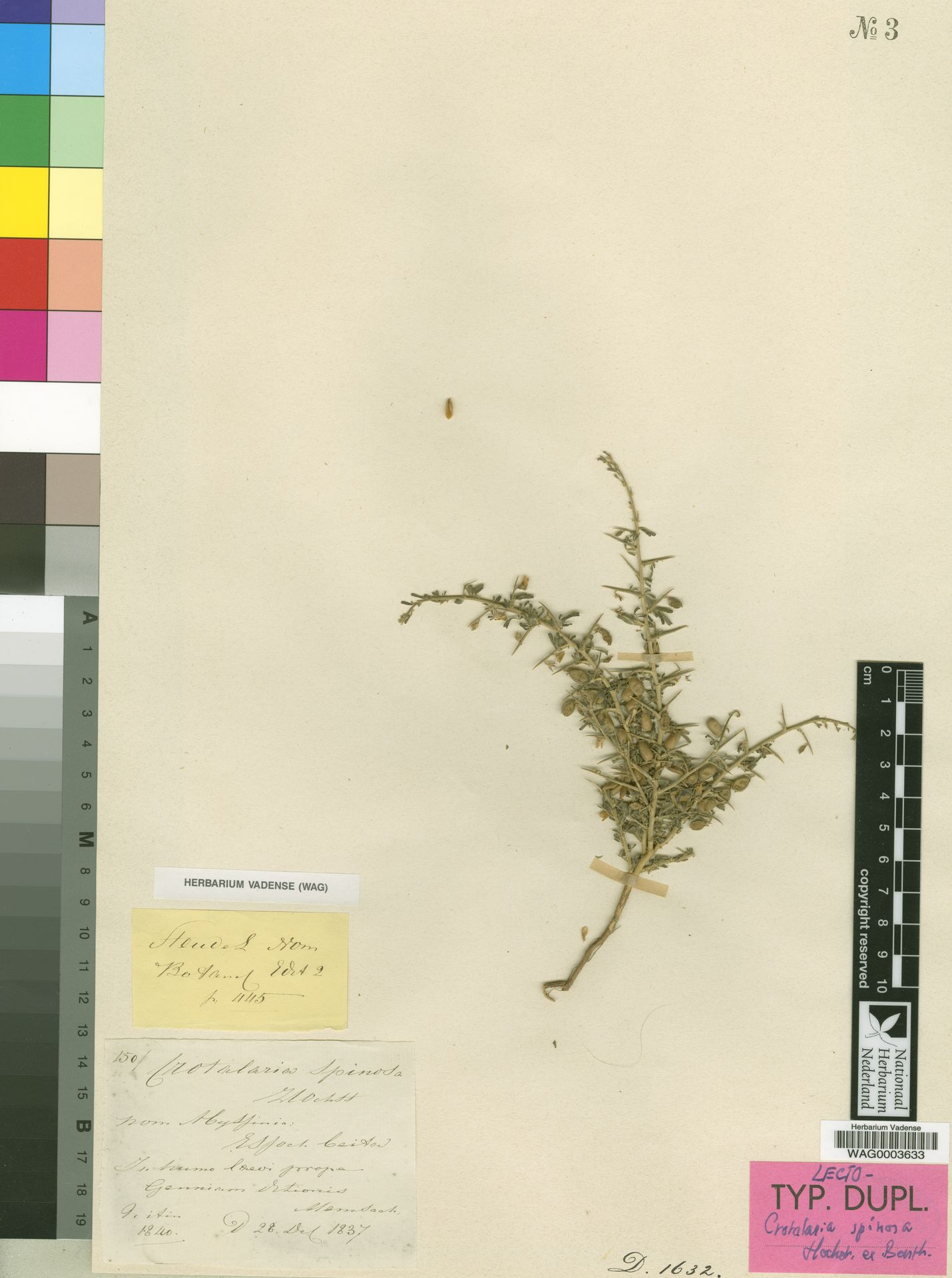 WAG0003633   Crotalaria spinosa Hochst. ex Benth.