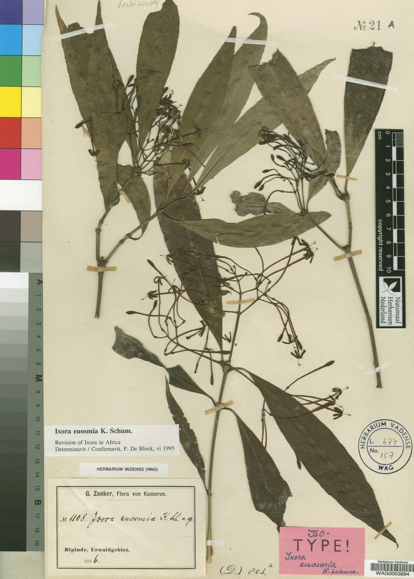 WAG0003894   Ixora euosmia K.Schum.