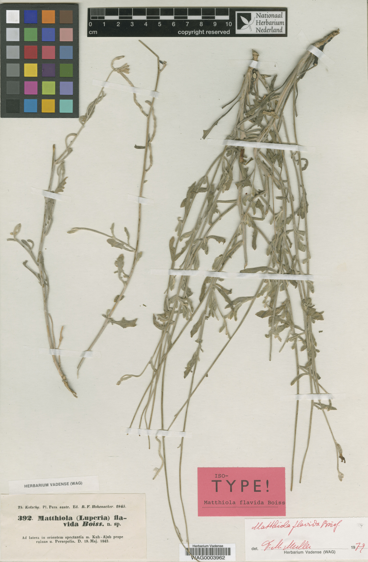 WAG0003962 | Matthiola flavida Boiss.
