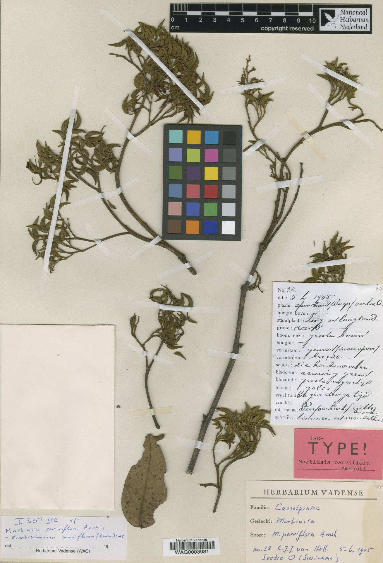 WAG0003981 | Martiodendron parviflorum (Amshoff) R.C.Koeppen
