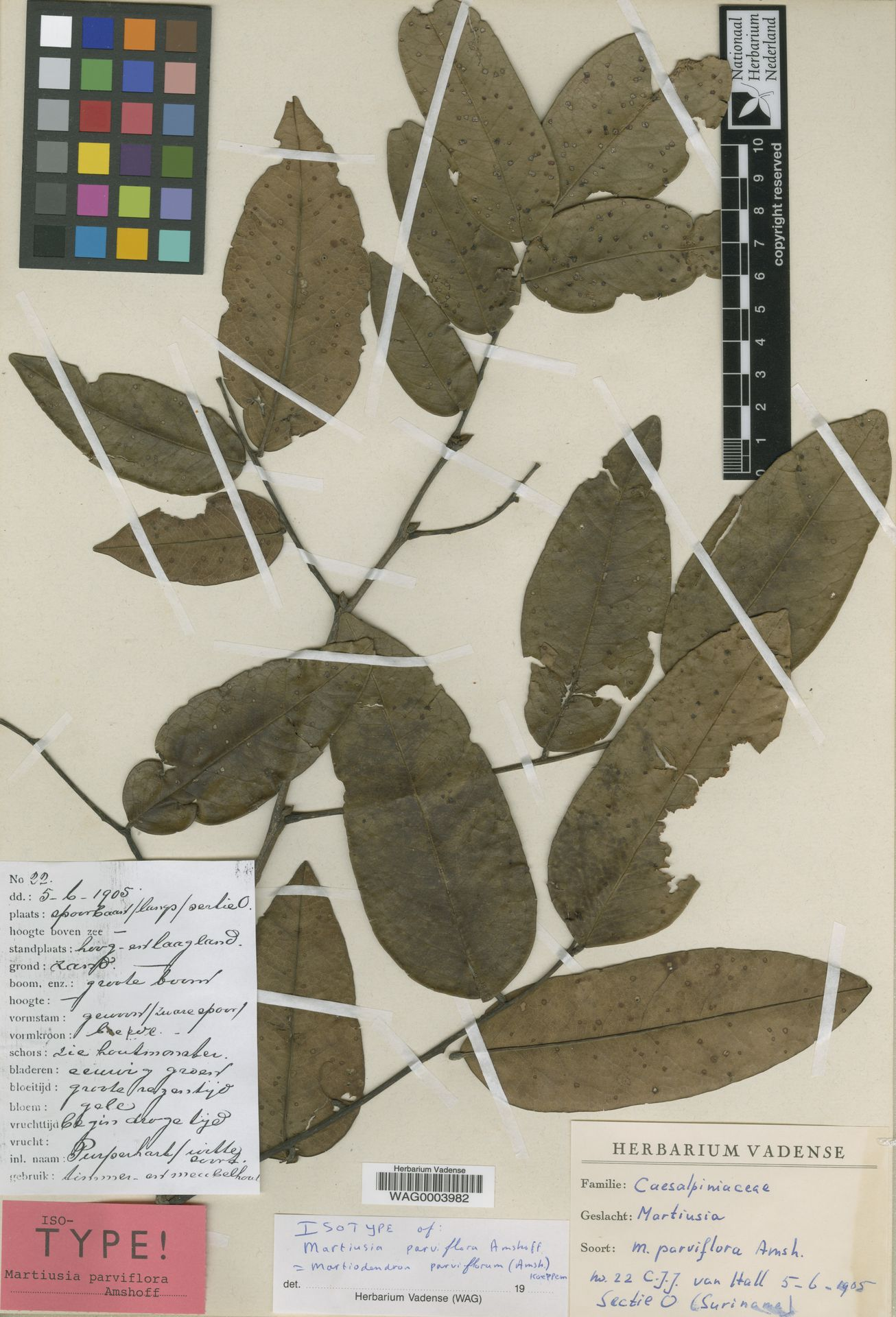 WAG0003982 | Martiodendron parviflorum (Amshoff) R.C.Koeppen
