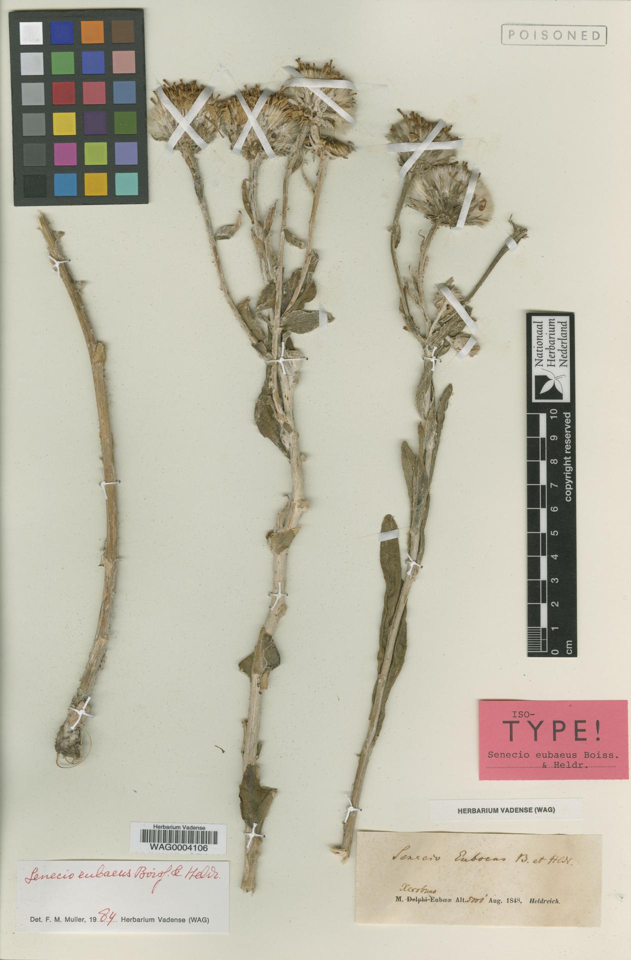 WAG0004106 | Senecio eubaeus Boiss. & Heldr.