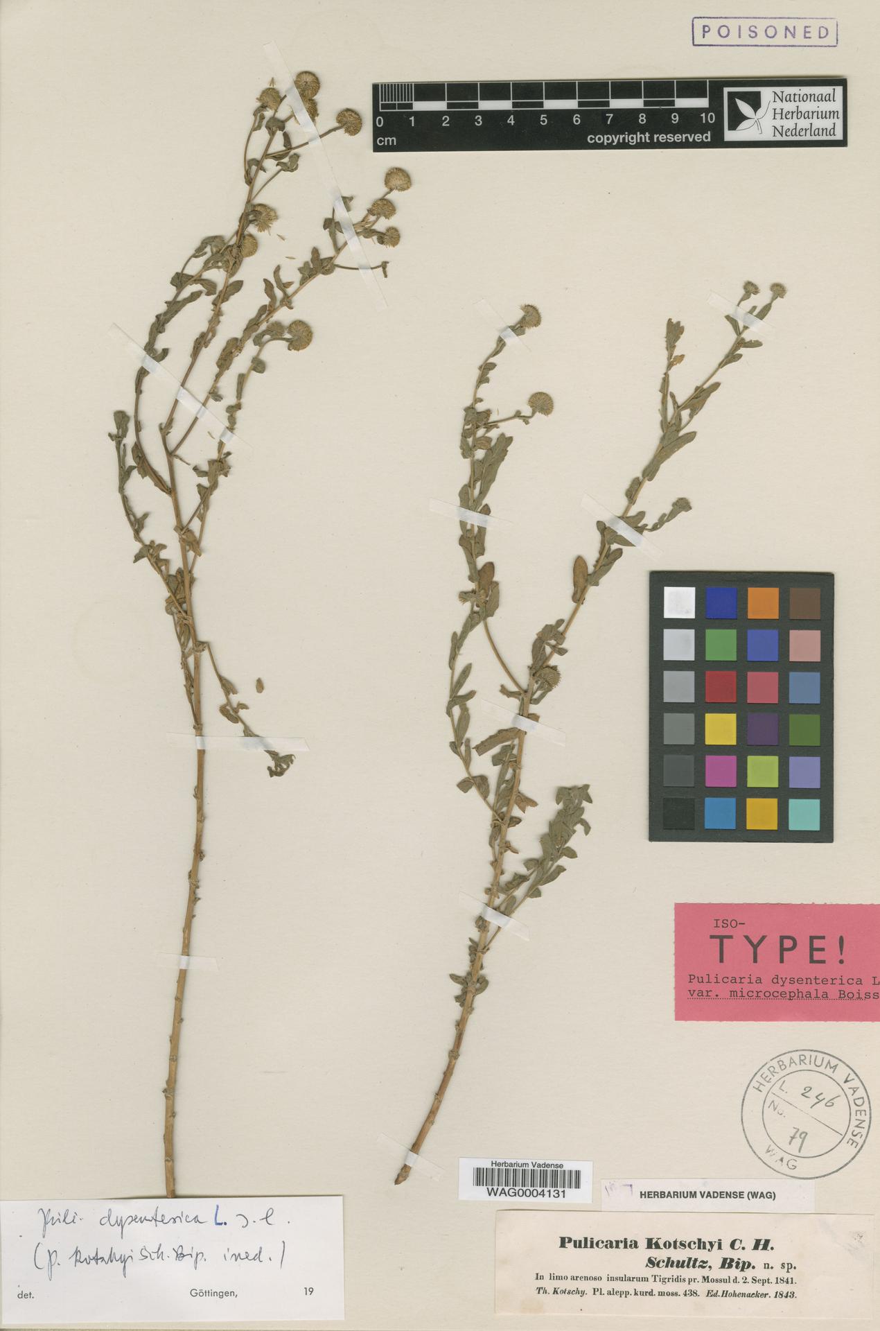 WAG0004131 | Pulicaria dysenterica (L.) Bernh.