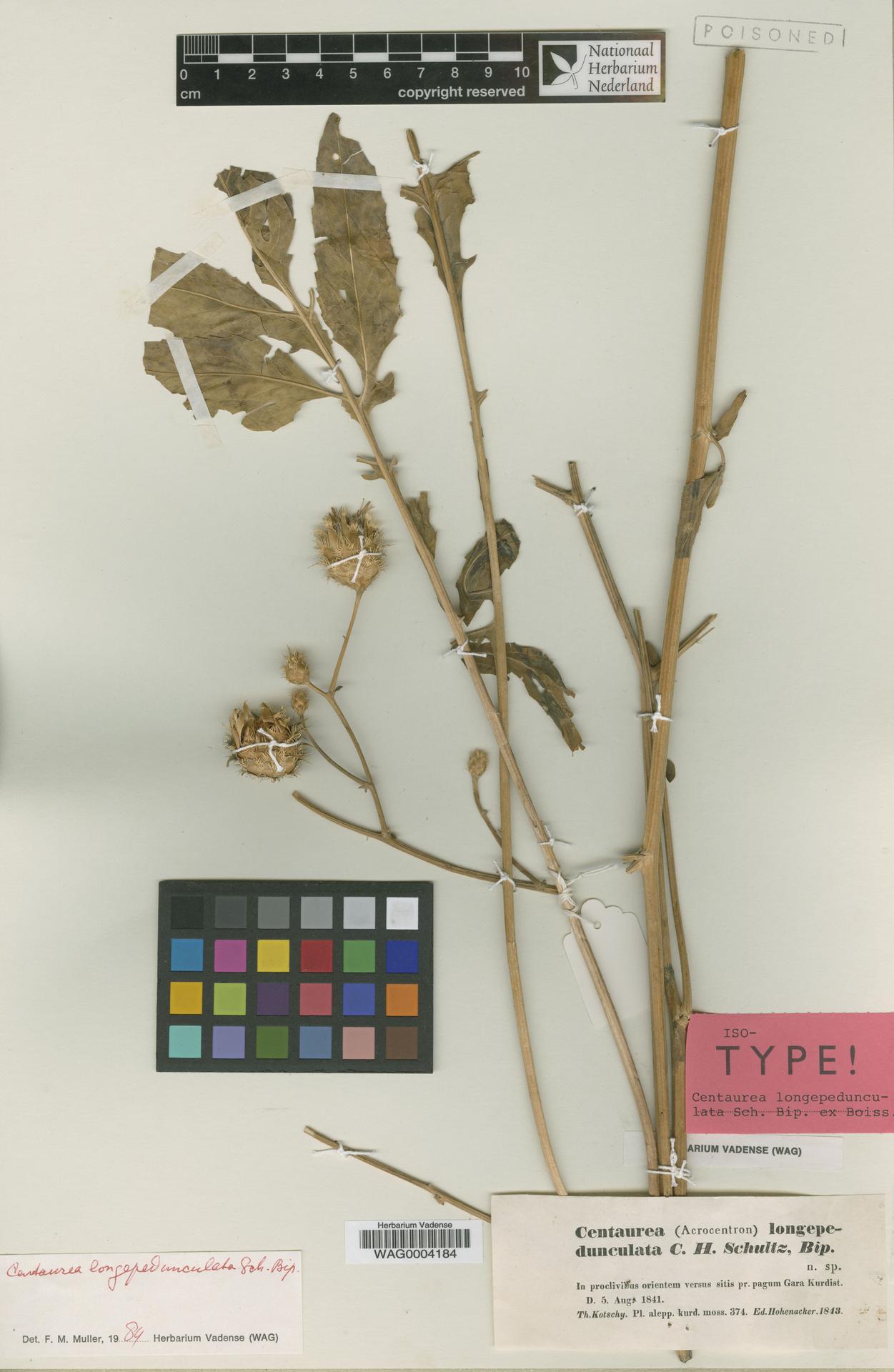 WAG0004184 | Centaurea longipedunculata Sch.Bip. ex Boiss.