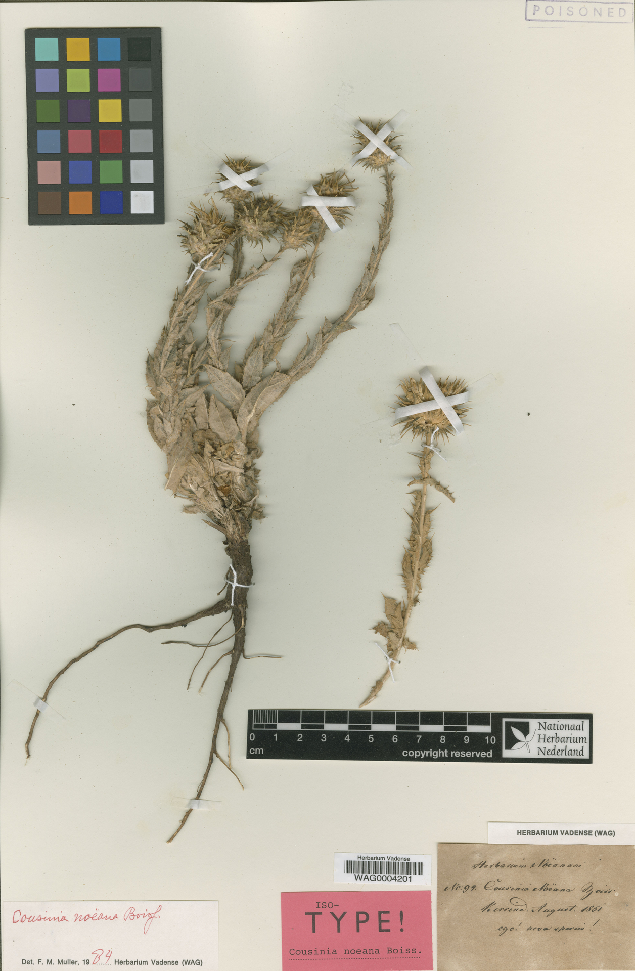 WAG0004201 | Cousinia noeana Boiss.
