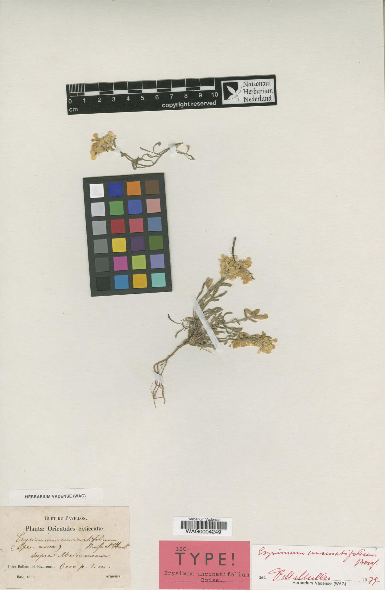 WAG.1752685 | Erysimum uncinatifolium Boiss.