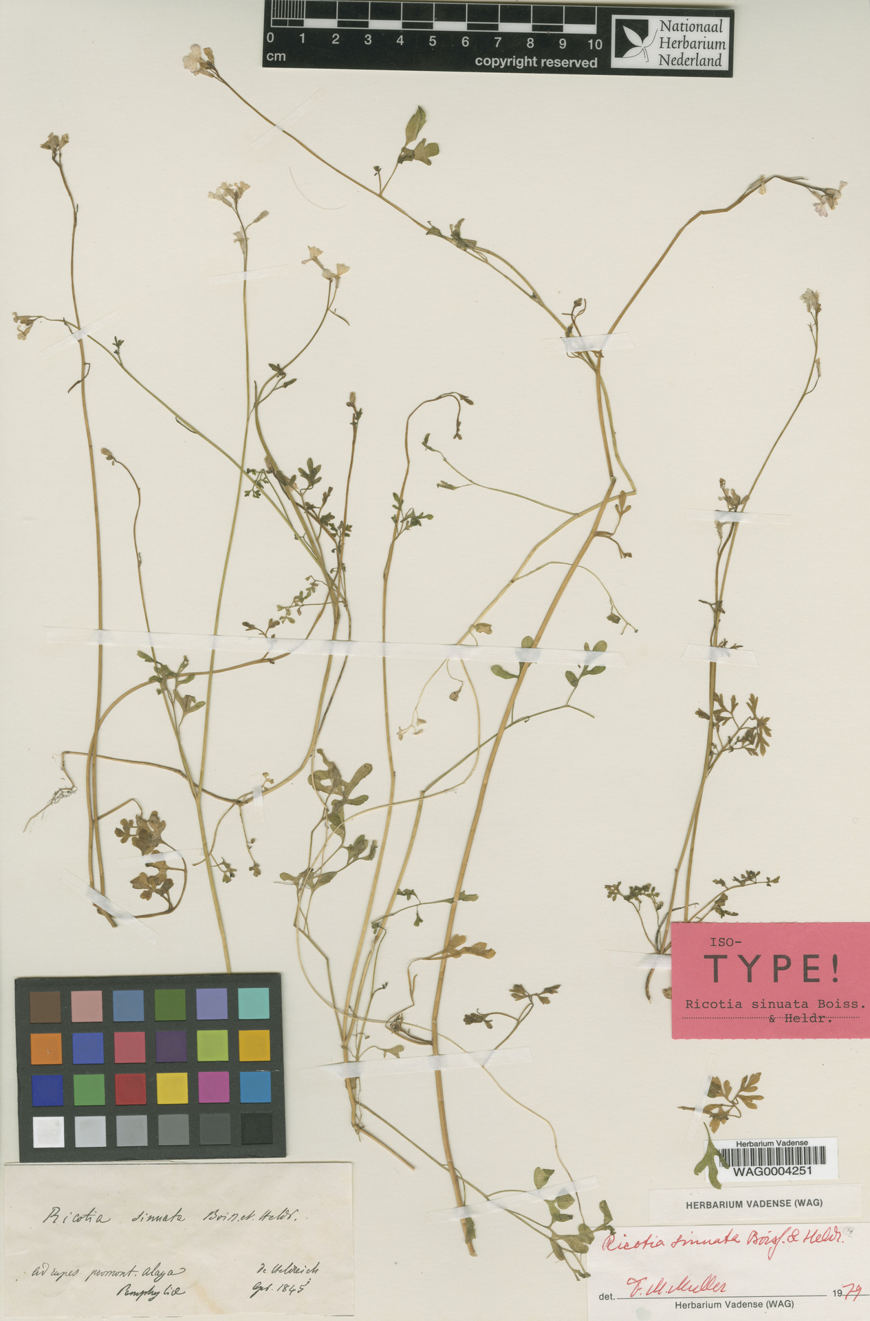 WAG0004251   Ricotia sinuata Boiss. & Heldr.