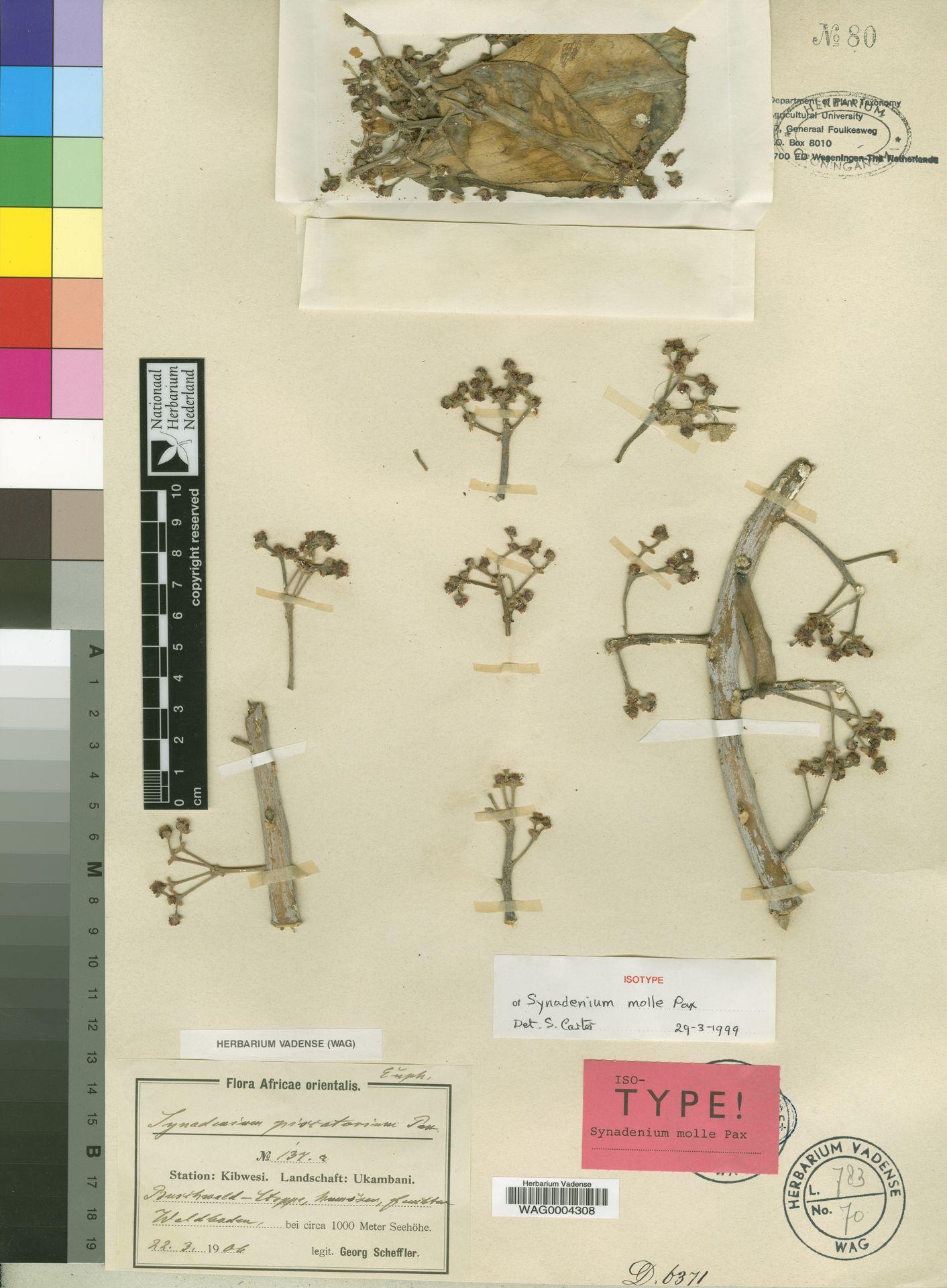 WAG0004308 | Synadenium molle Pax