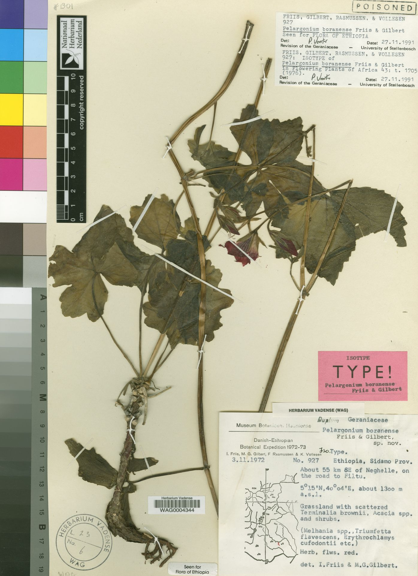 WAG.1813550 | Pelargonium boranense Friis & M.G.Gilbert