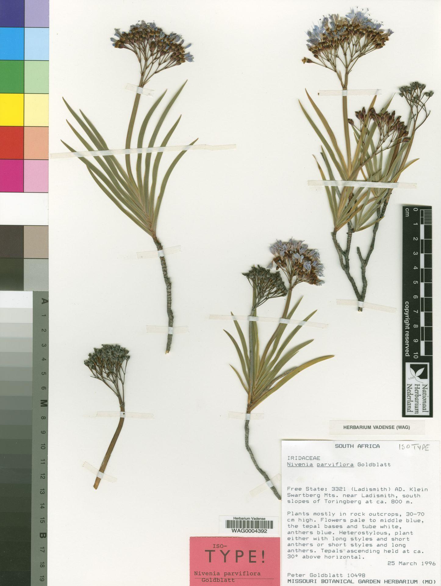 WAG0004392 | Nivenia parviflora Goldblatt