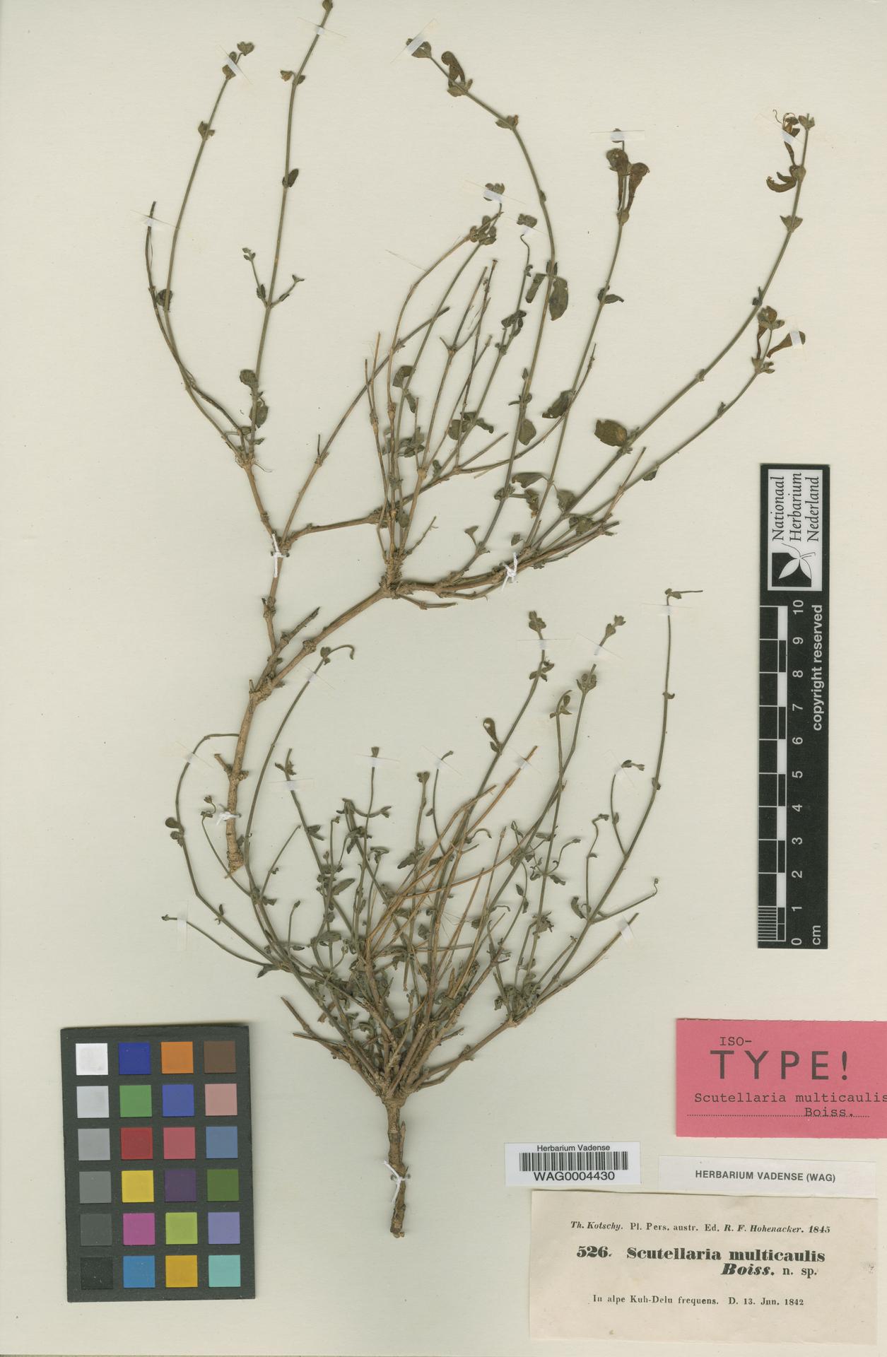 WAG0004430 | Scutellaria multicaulis Boiss.