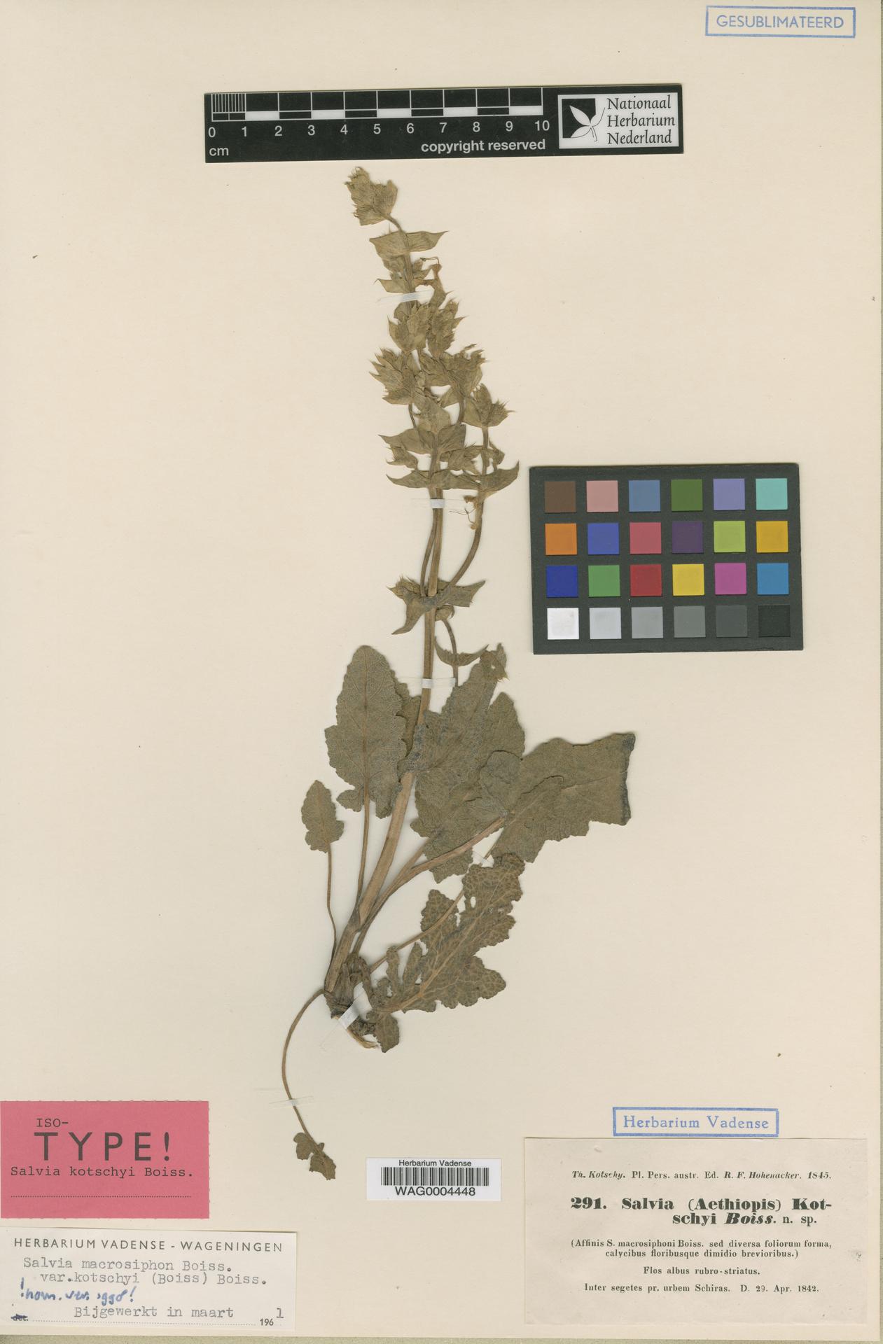WAG0004448 | Salvia macrosiphon Boiss.