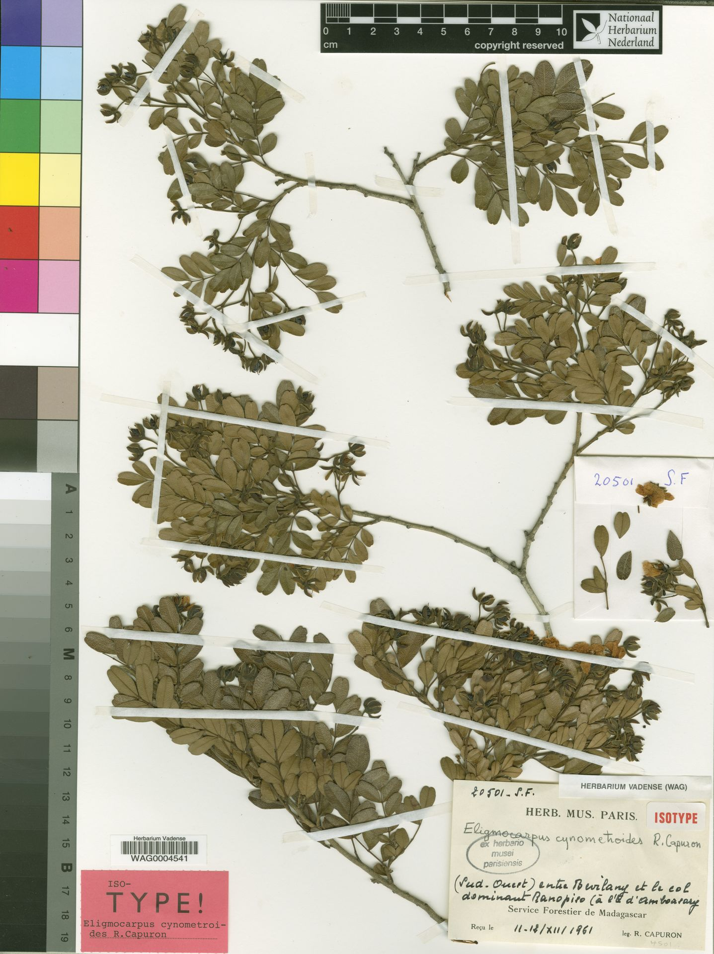 WAG0004541 | Eligmocarpus cynometroides Capuron