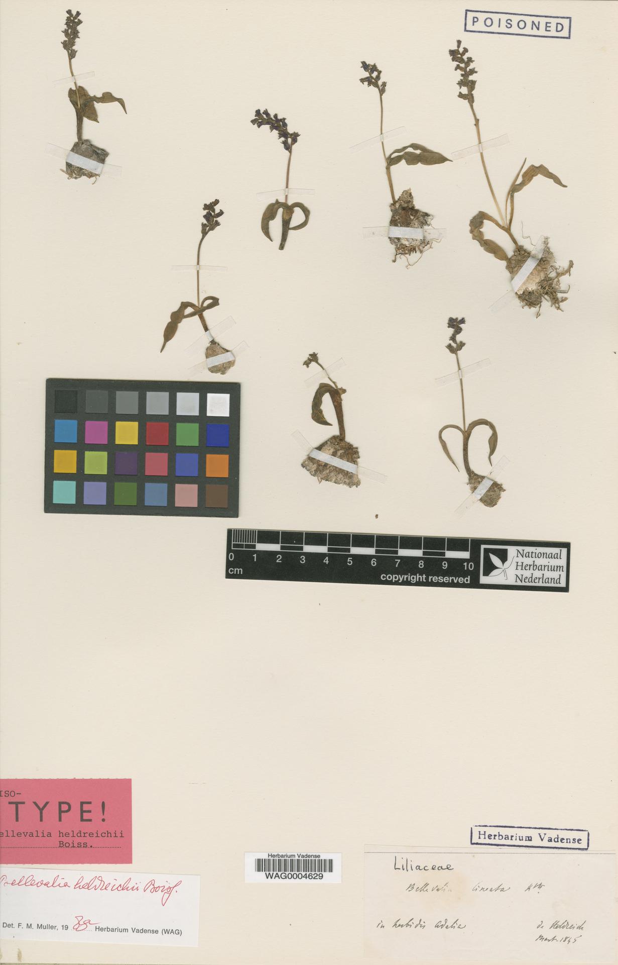 WAG0004629 | Bellevalia heldreichii Boiss.