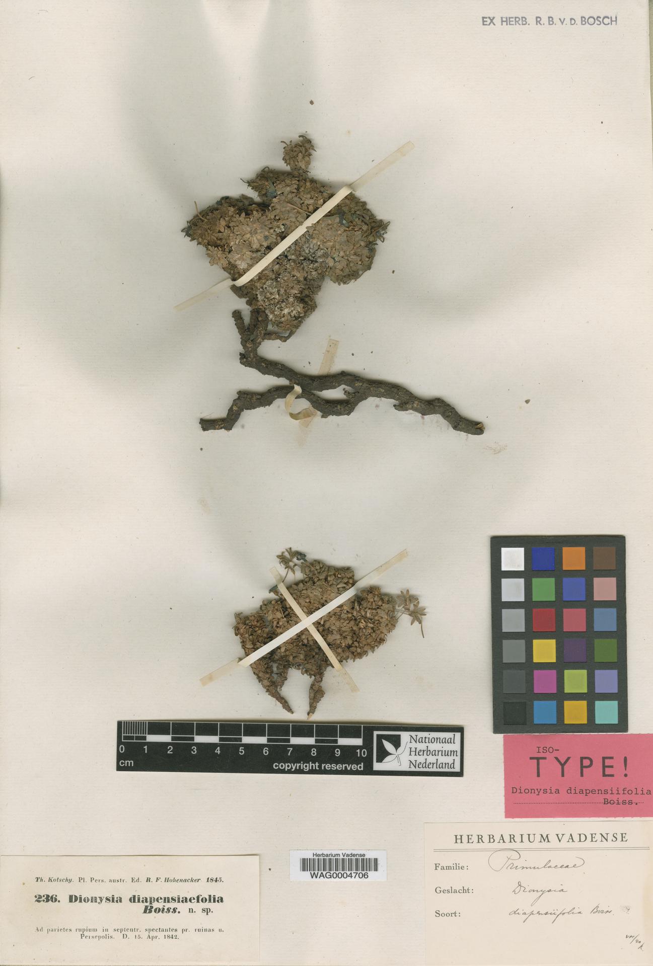 WAG0004706 | Dionysia diapensiifolia Boiss.
