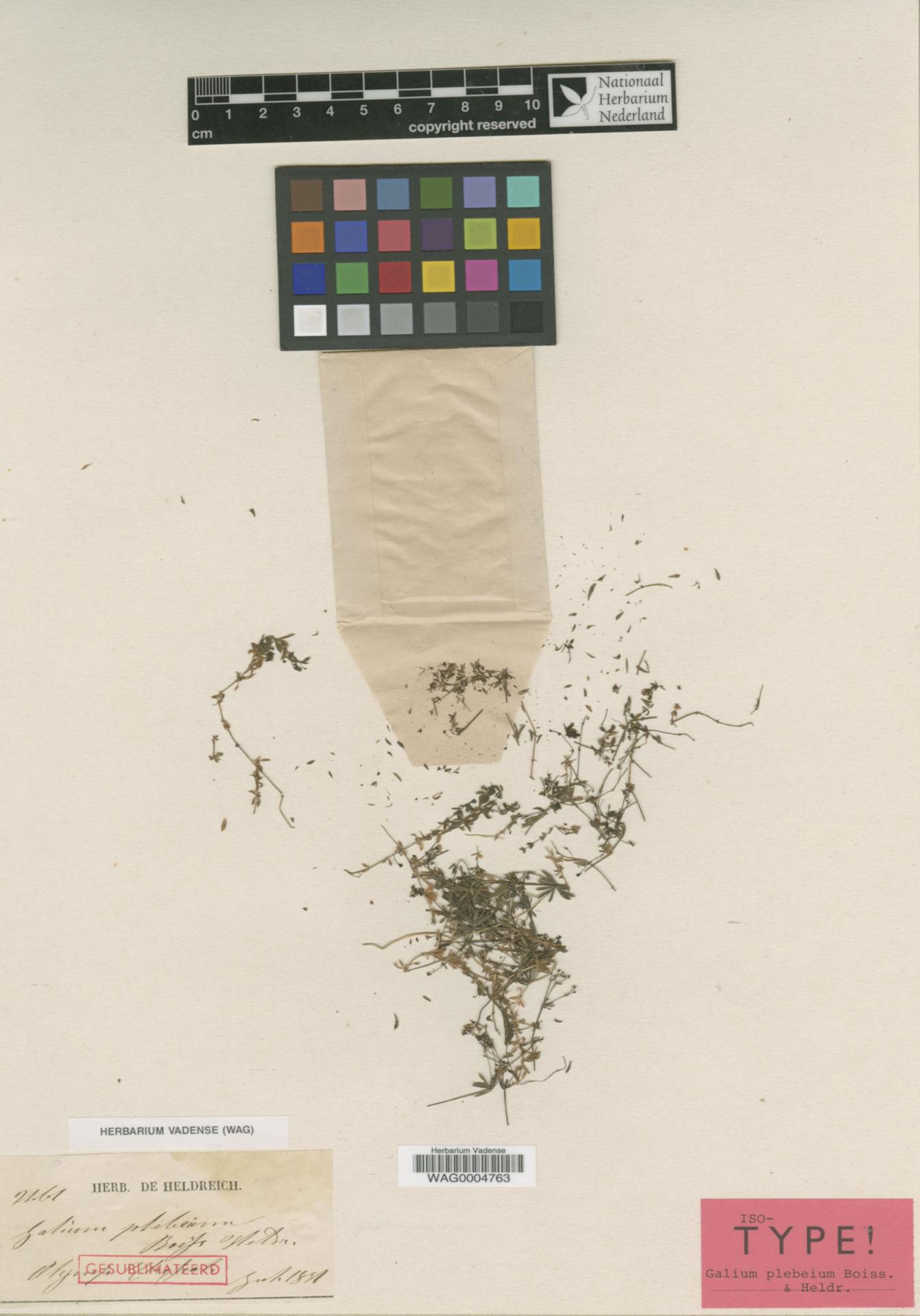 WAG0004763 | Galium plebeium Boiss. & Heldr.