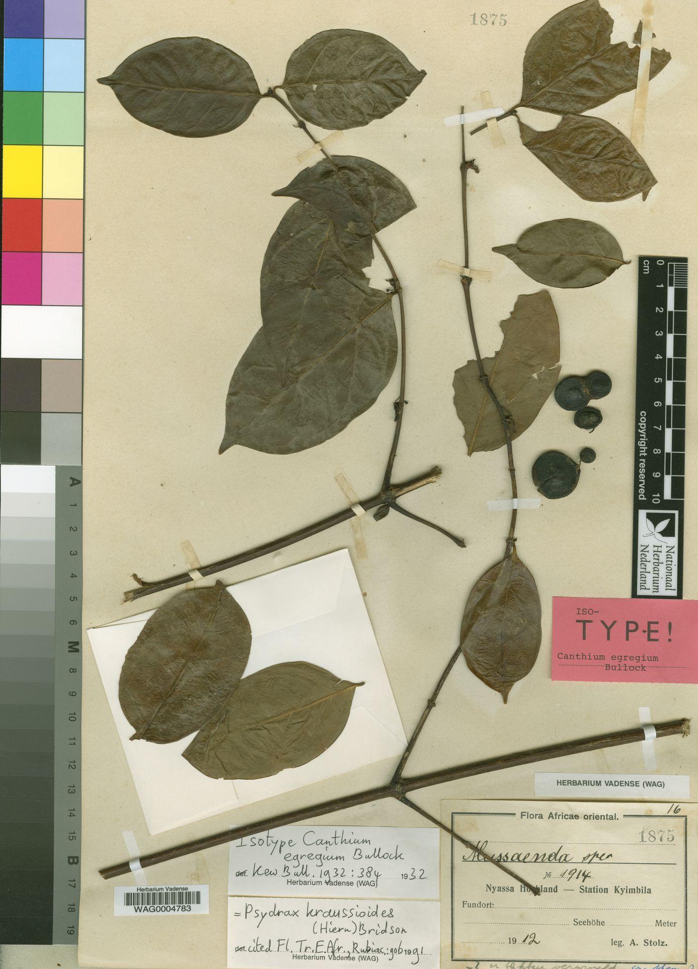 WAG0004783 | Psydrax kraussioides (Hiern) Bridson