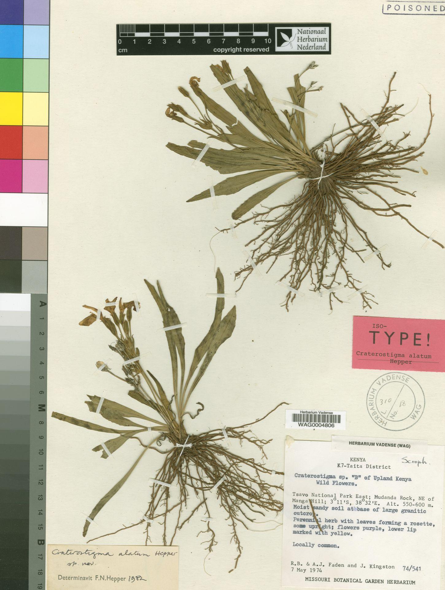 WAG0004806 | Craterostigma alatum Hepper