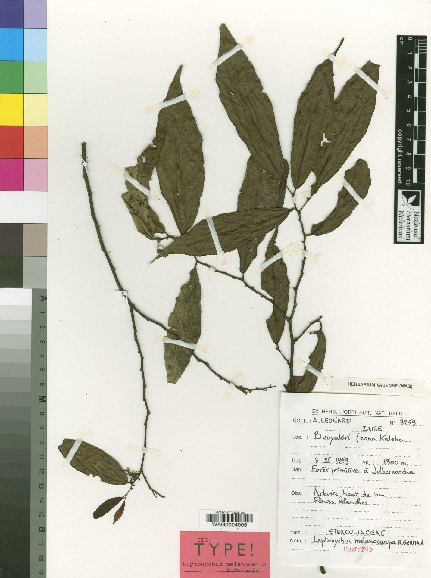 WAG0004905 | Leptonychia melanocarpa R.Germ.