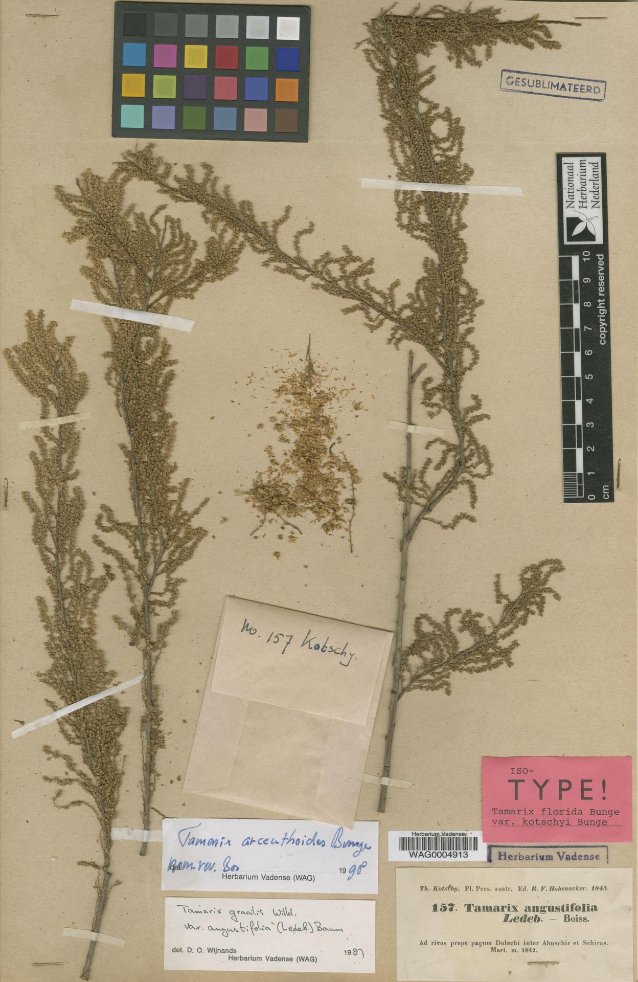 WAG.1839796   Tamarix arceuthoides Bunge