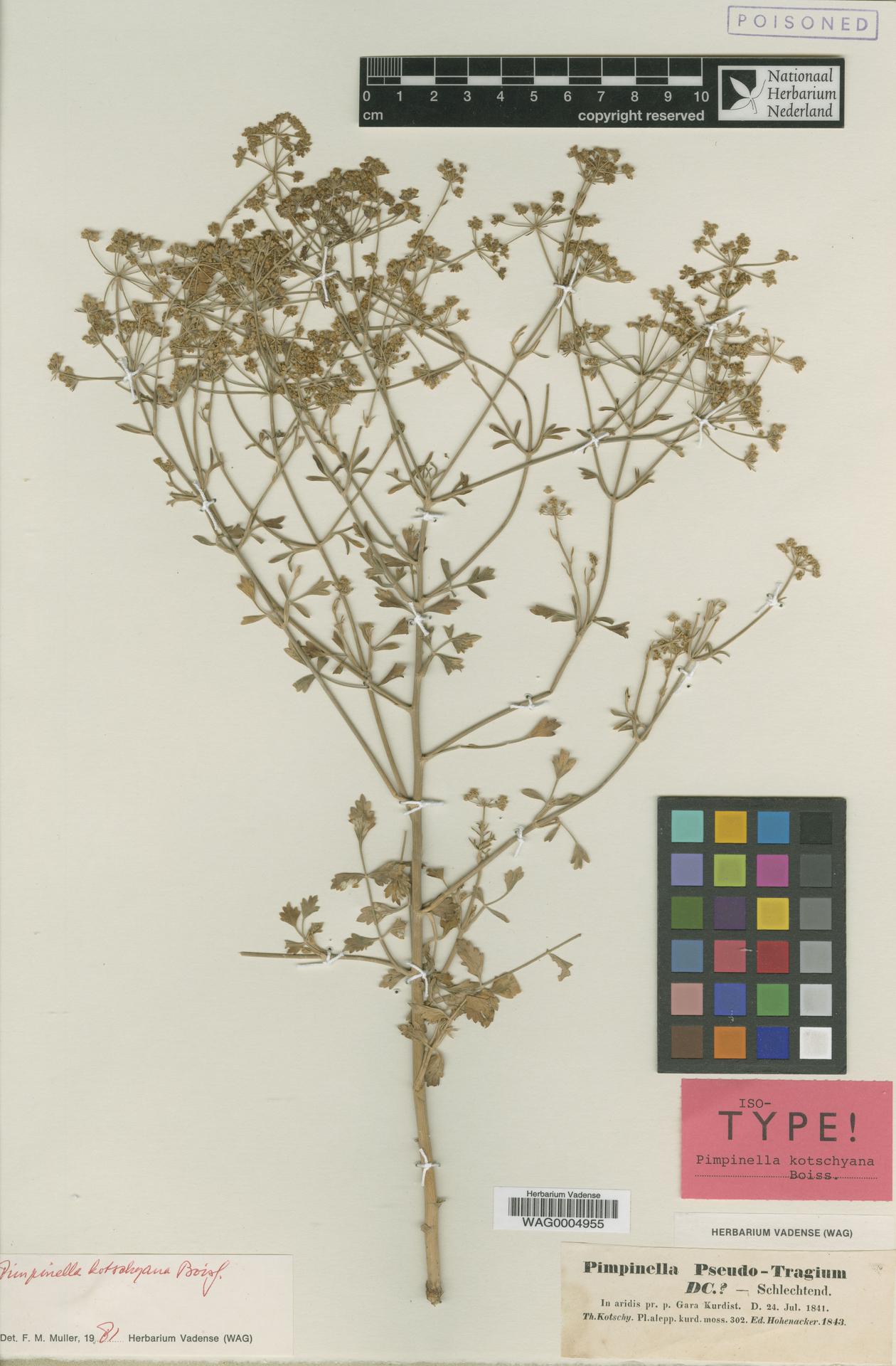 WAG.1854103 | Pimpinella kotschyana Boiss.