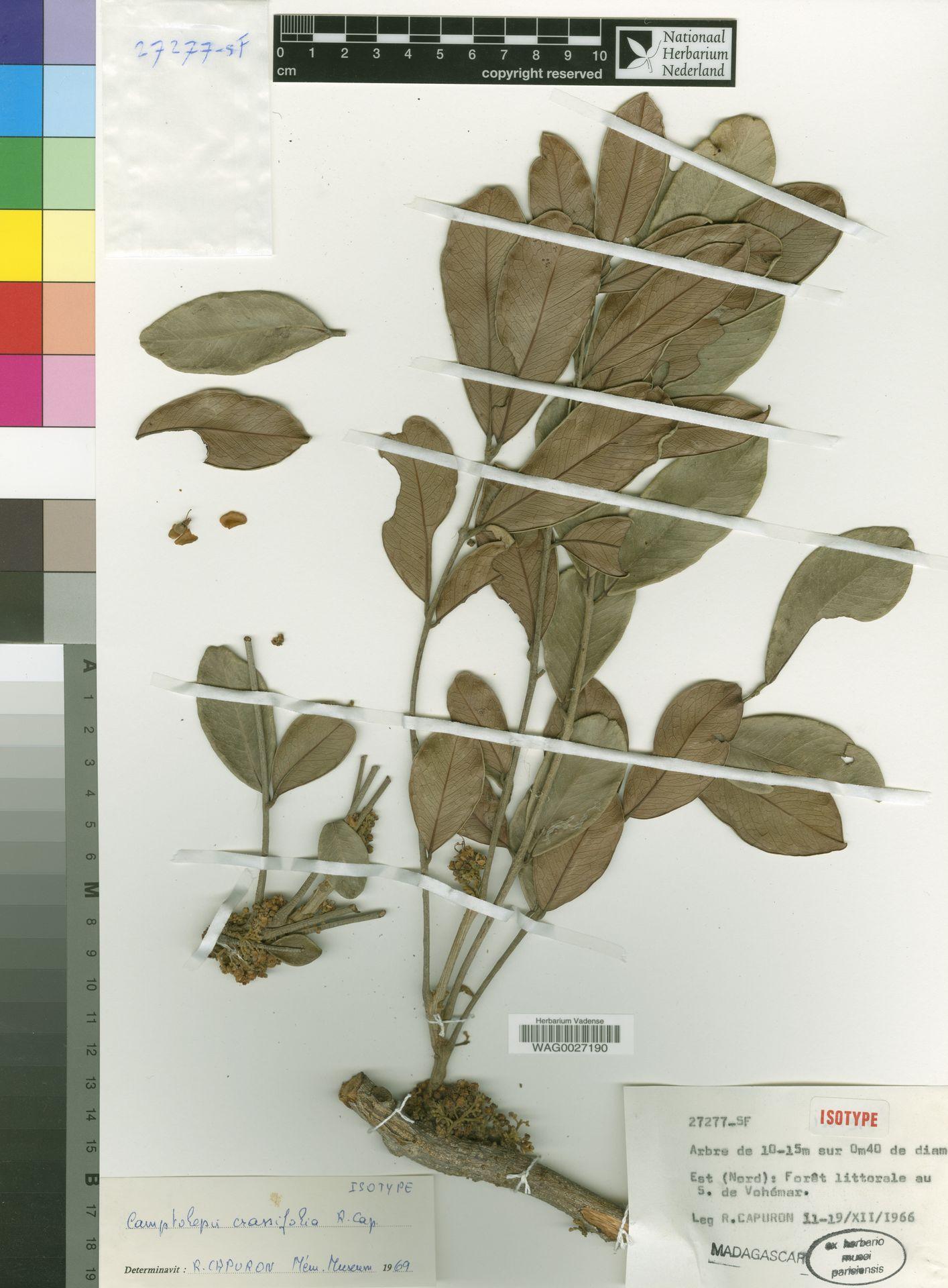 WAG0027190 | Camptolepis crassifolia Capuron