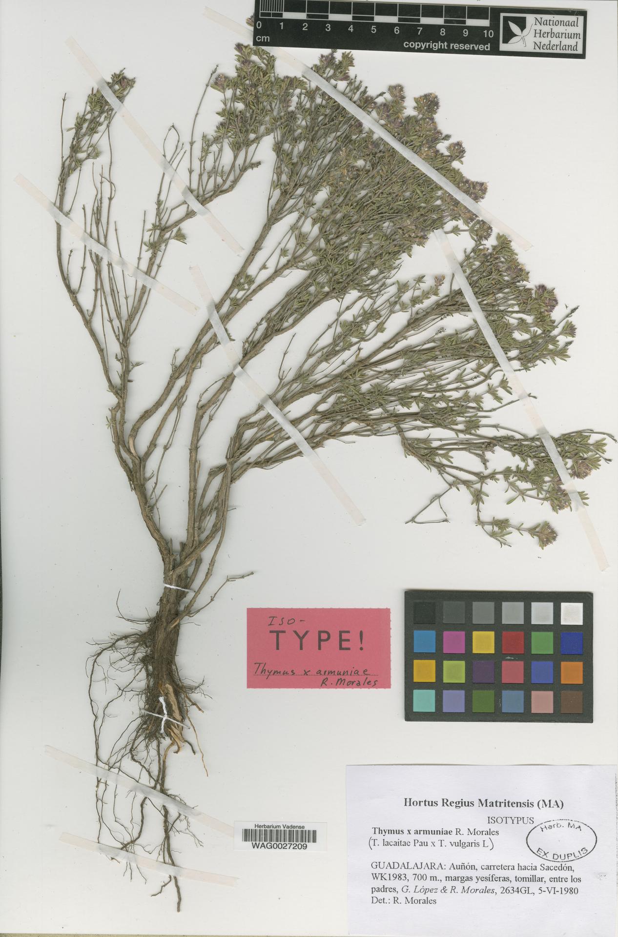 WAG0027209 | Thymus ×armuniae R.Morales
