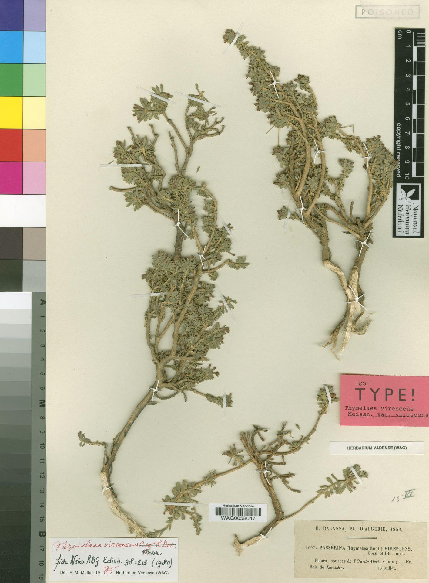 WAG0058047 | Thymelaea virescens Meisn.