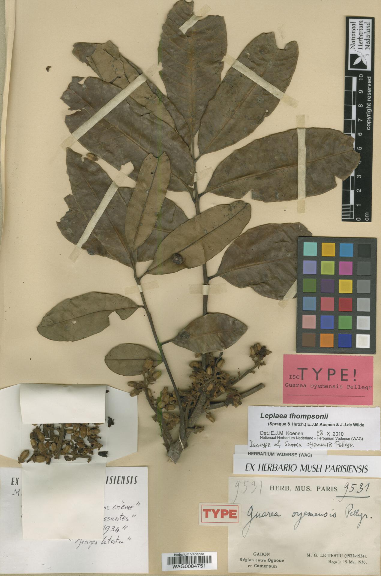 WAG0084751 | Leplaea thompsonii (Sprague & Hutch.) E.J.M.Koenen & J.J.de Wilde