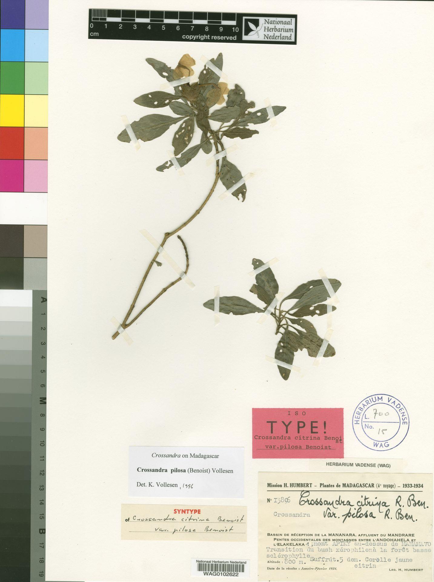 WAG0102622 | Crossandra pilosa (Benoist) Vollesen