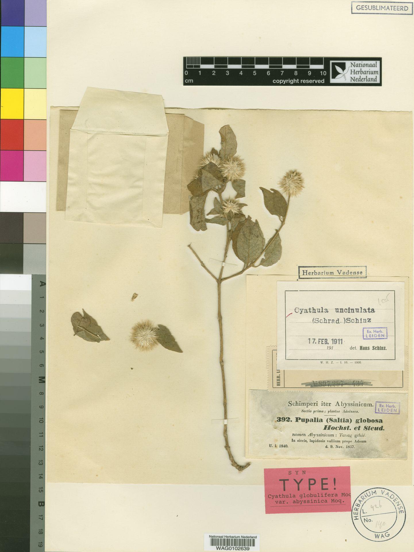 WAG0102639 | Cyathula uncinulata (Schrad.) Schinz