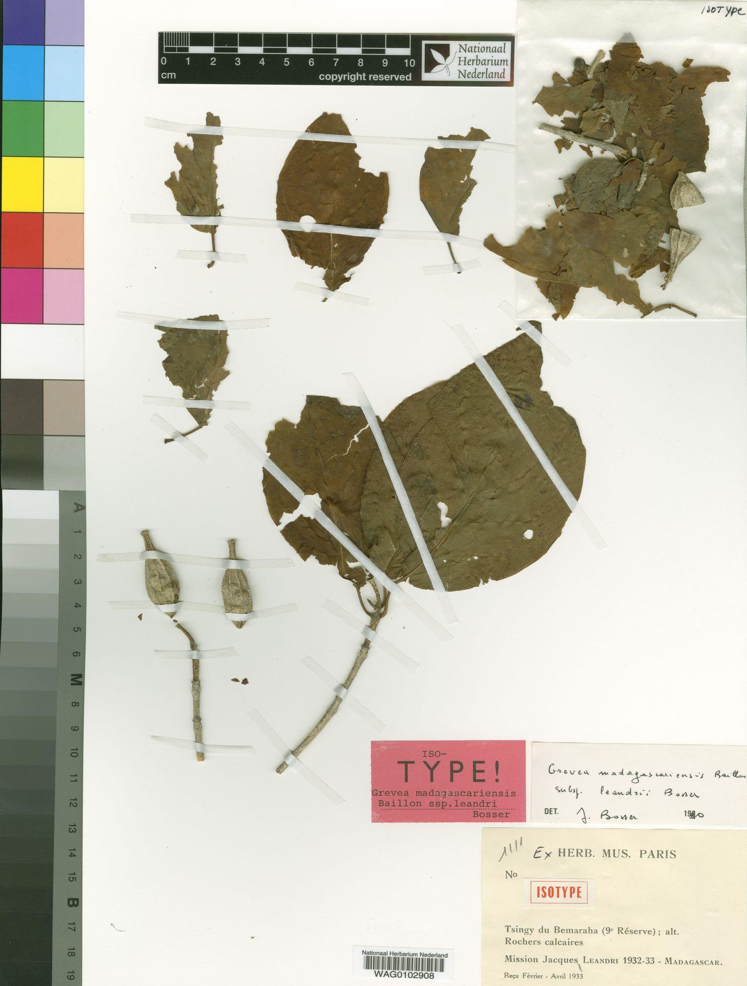 WAG0102908 | Grevea madagascariensis subsp. leandrii Bosser