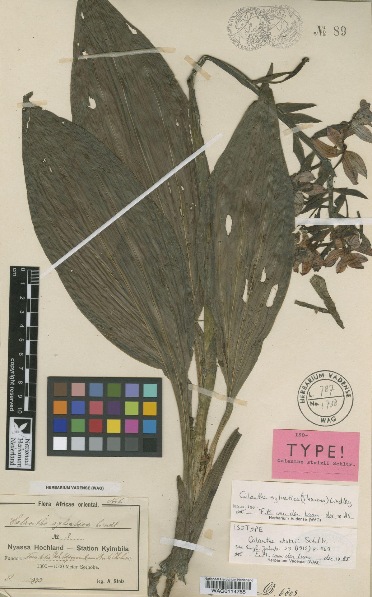 WAG0114785 | Calanthe sylvatica (Thouars) Lindl.
