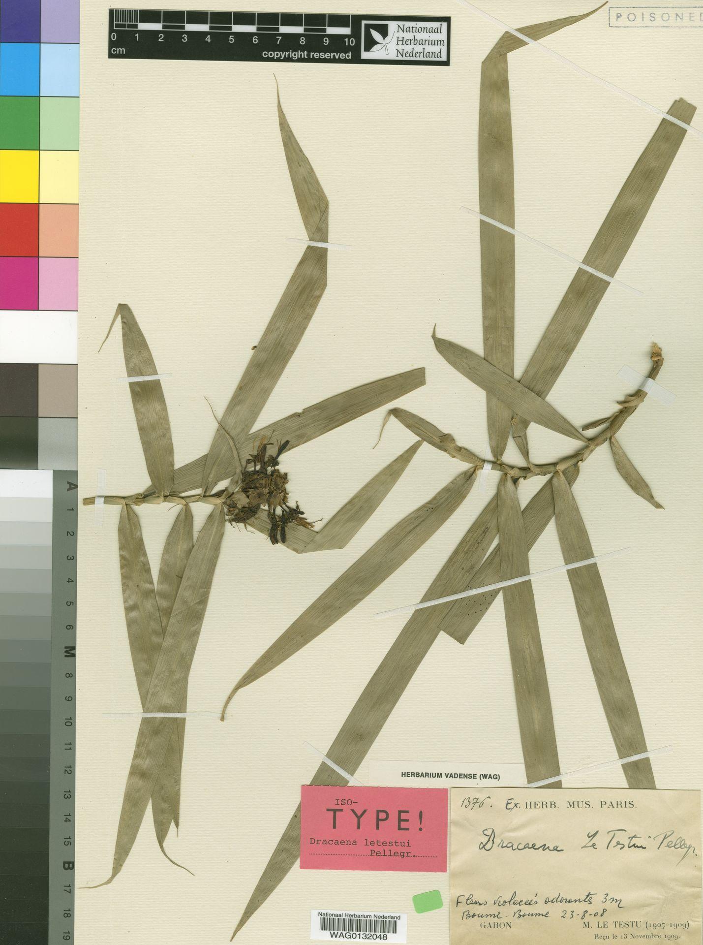 WAG0132048 | Dracaena viridiflora Engl. & K.Krause