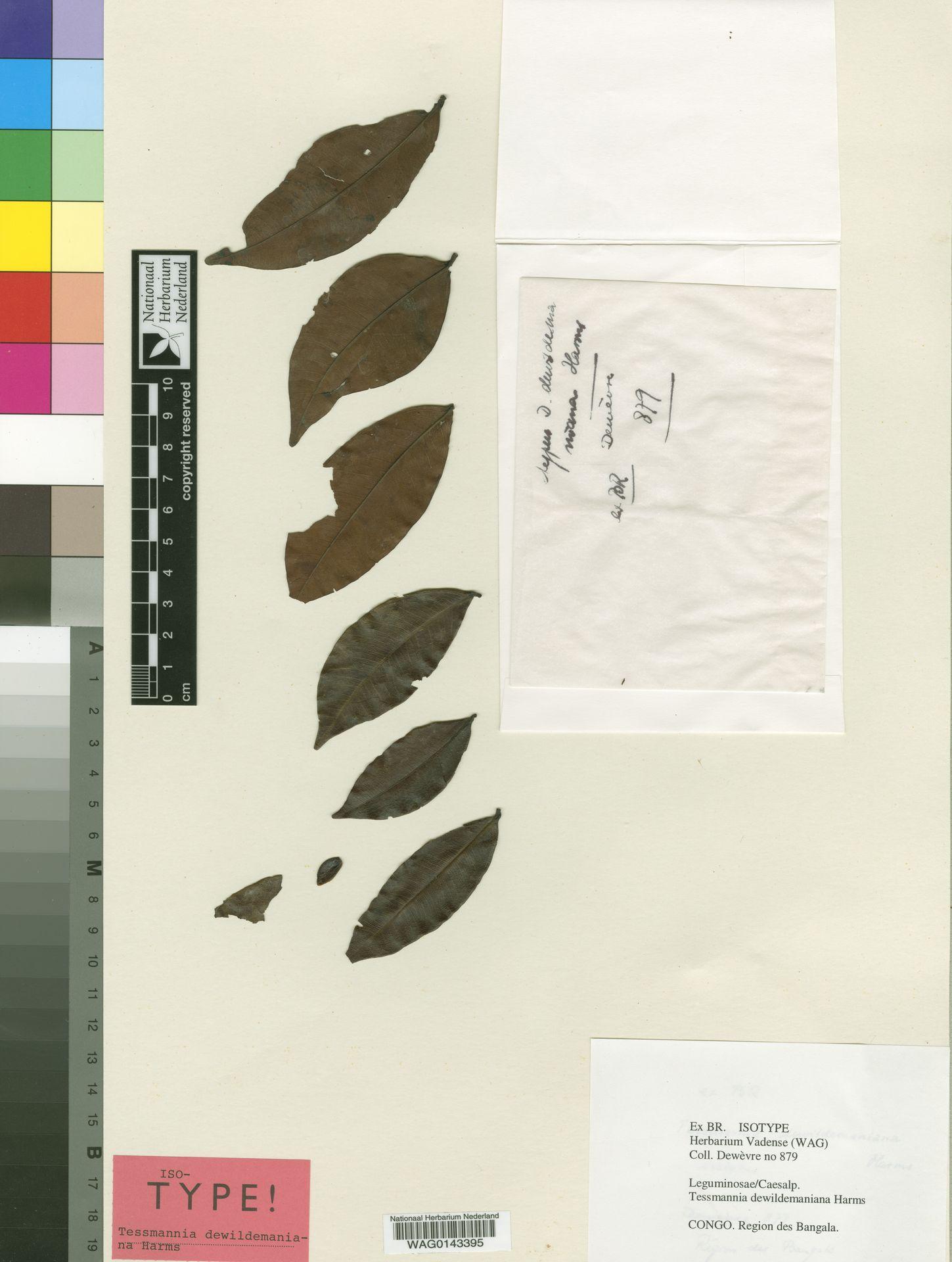 WAG0143395 | Tessmannia dewildemaniana Harms
