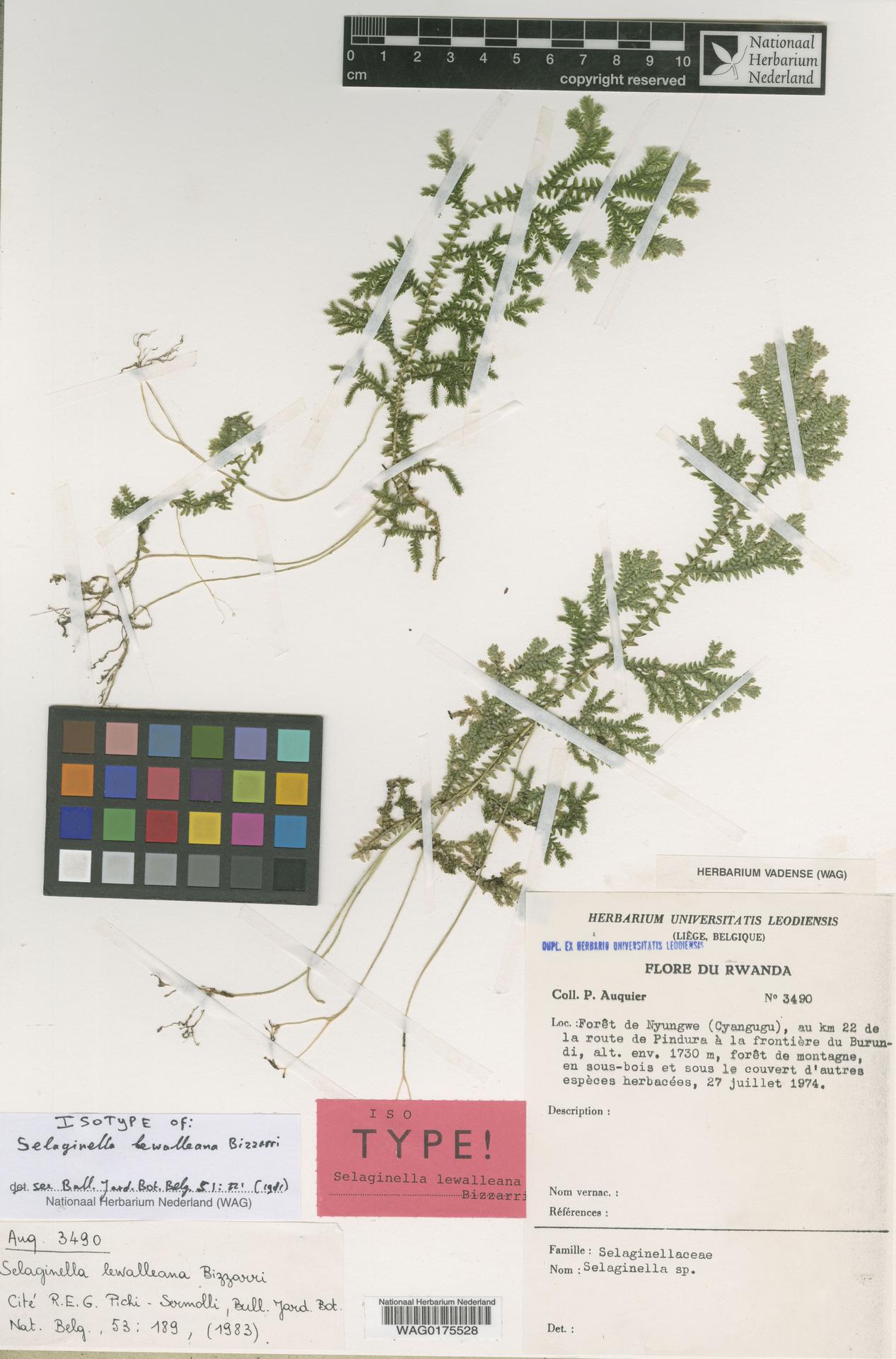WAG.1725554 | Selaginella lewalleana Bizzarri