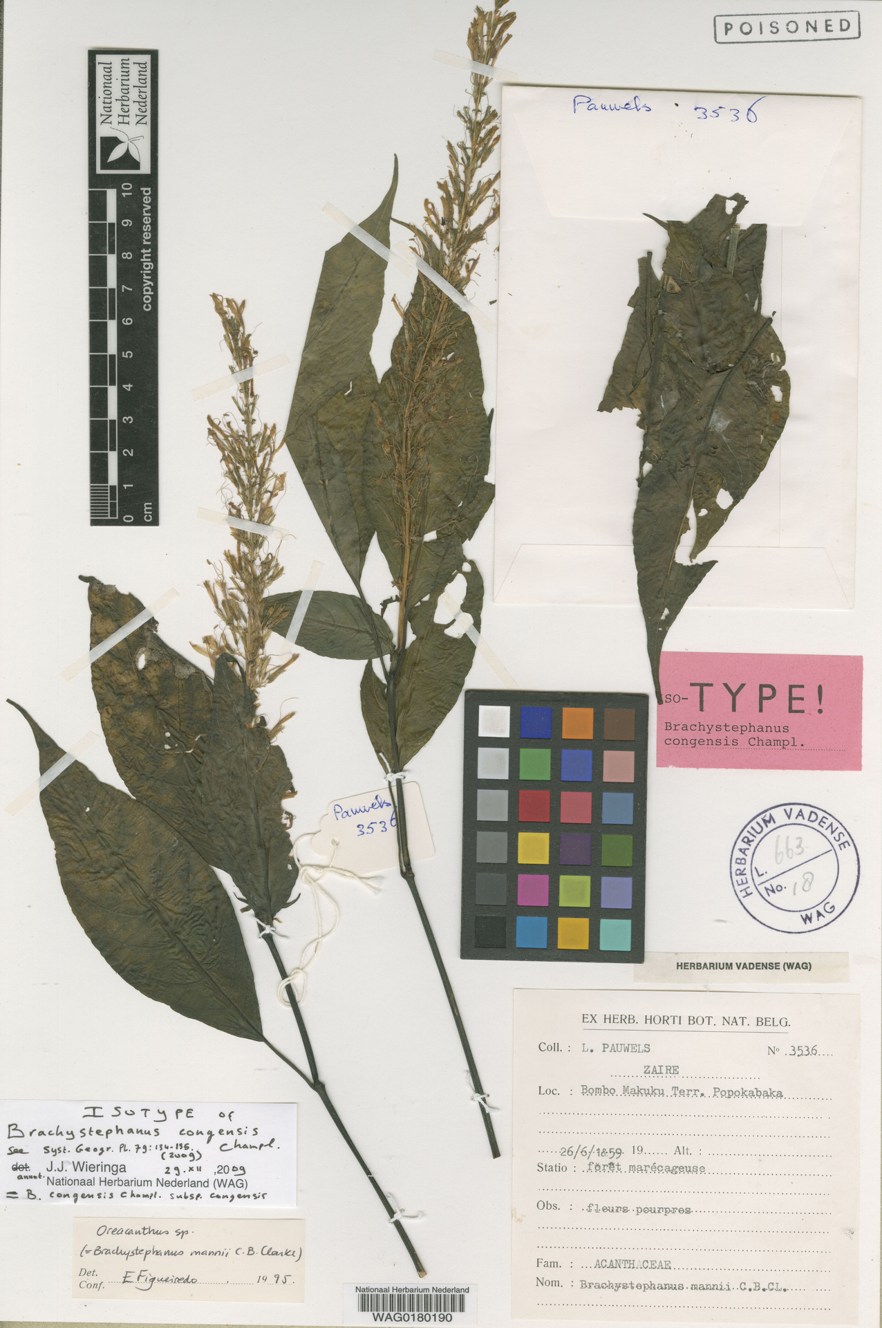 WAG.1734514 | Brachystephanus congensis subsp. congensis
