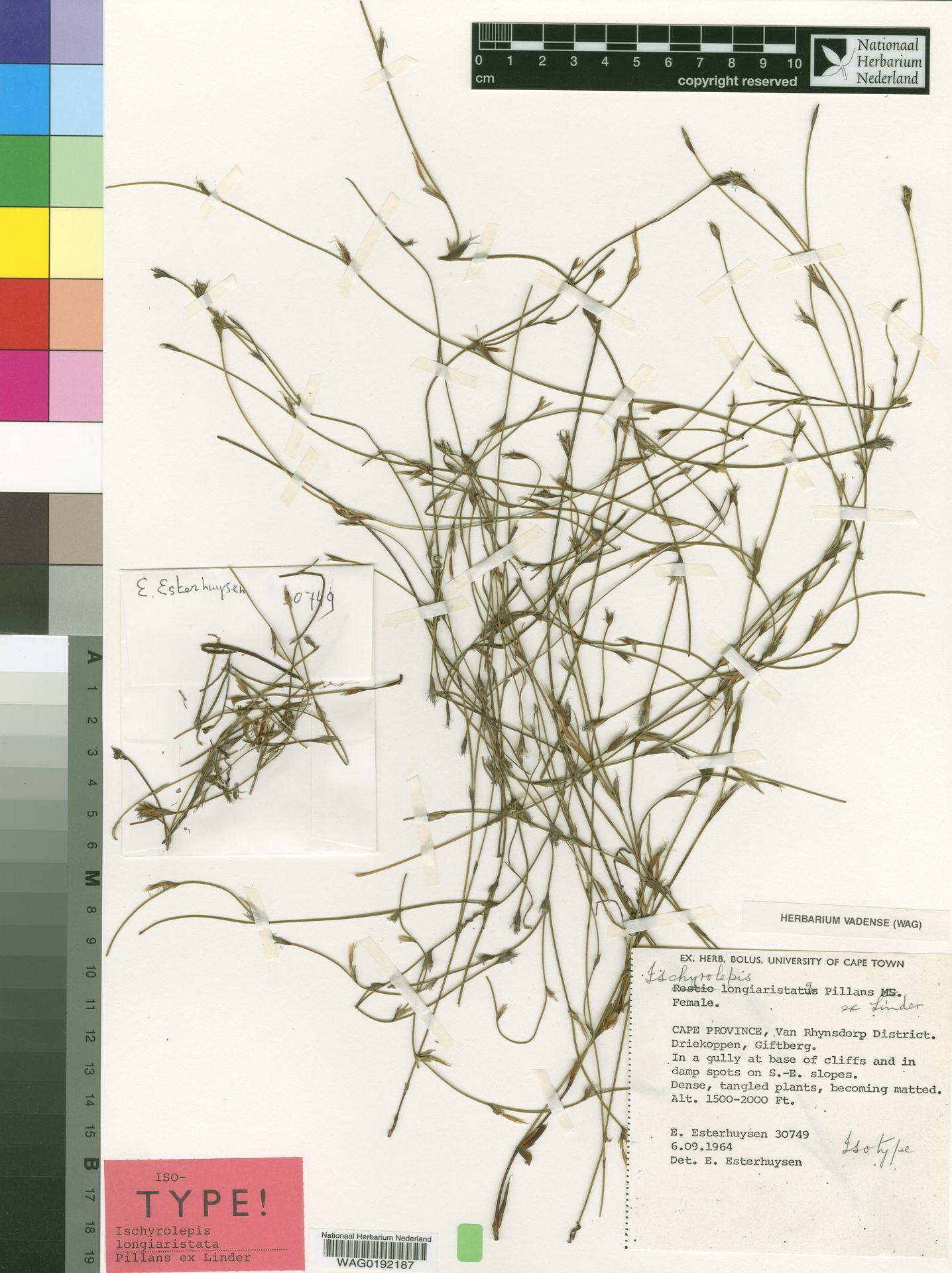 WAG0192187 | Ischyrolepis longiaristata Pillans ex H.P.Linder