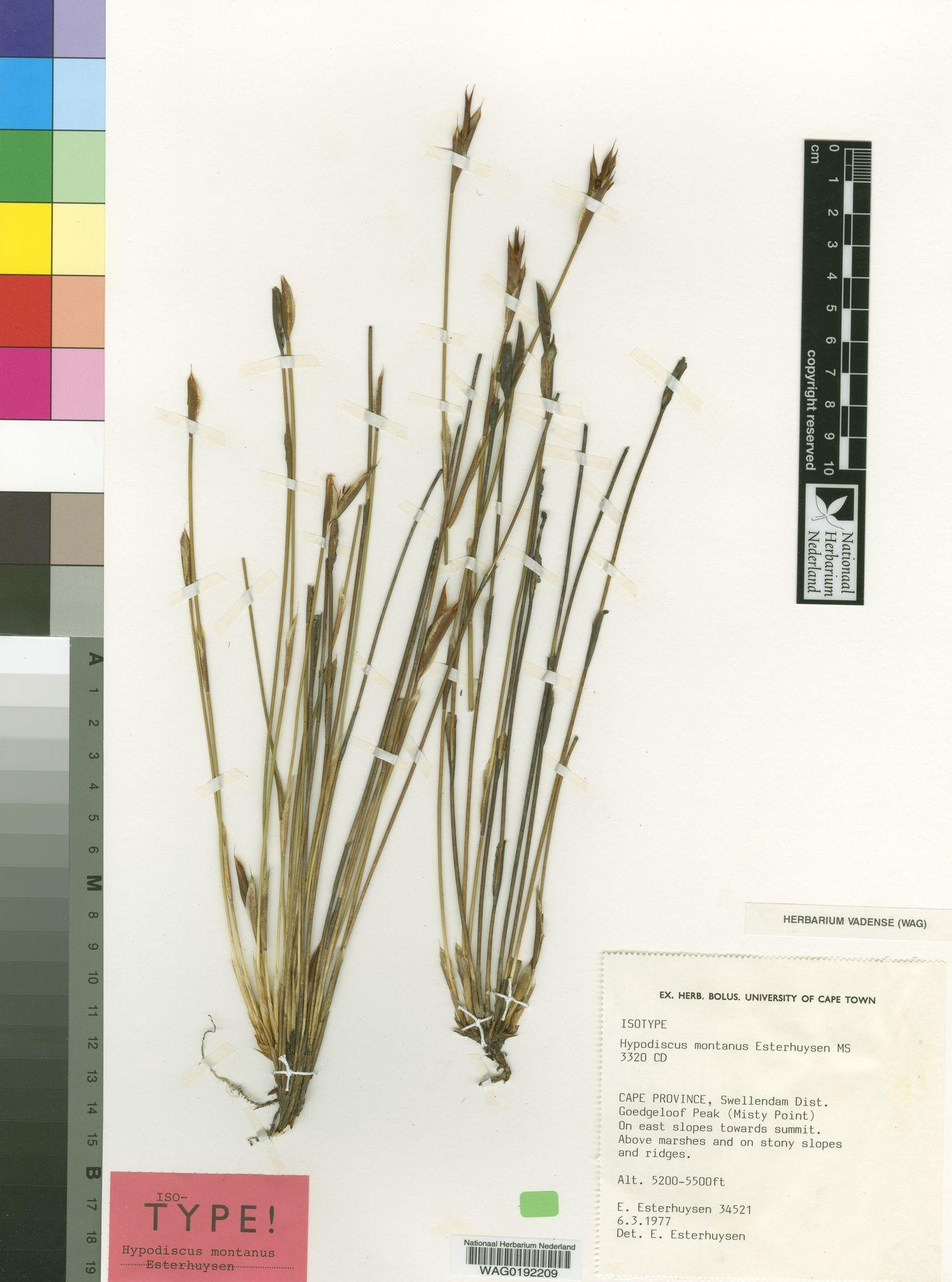 WAG0192209 | Hypodiscus montanus Esterh.