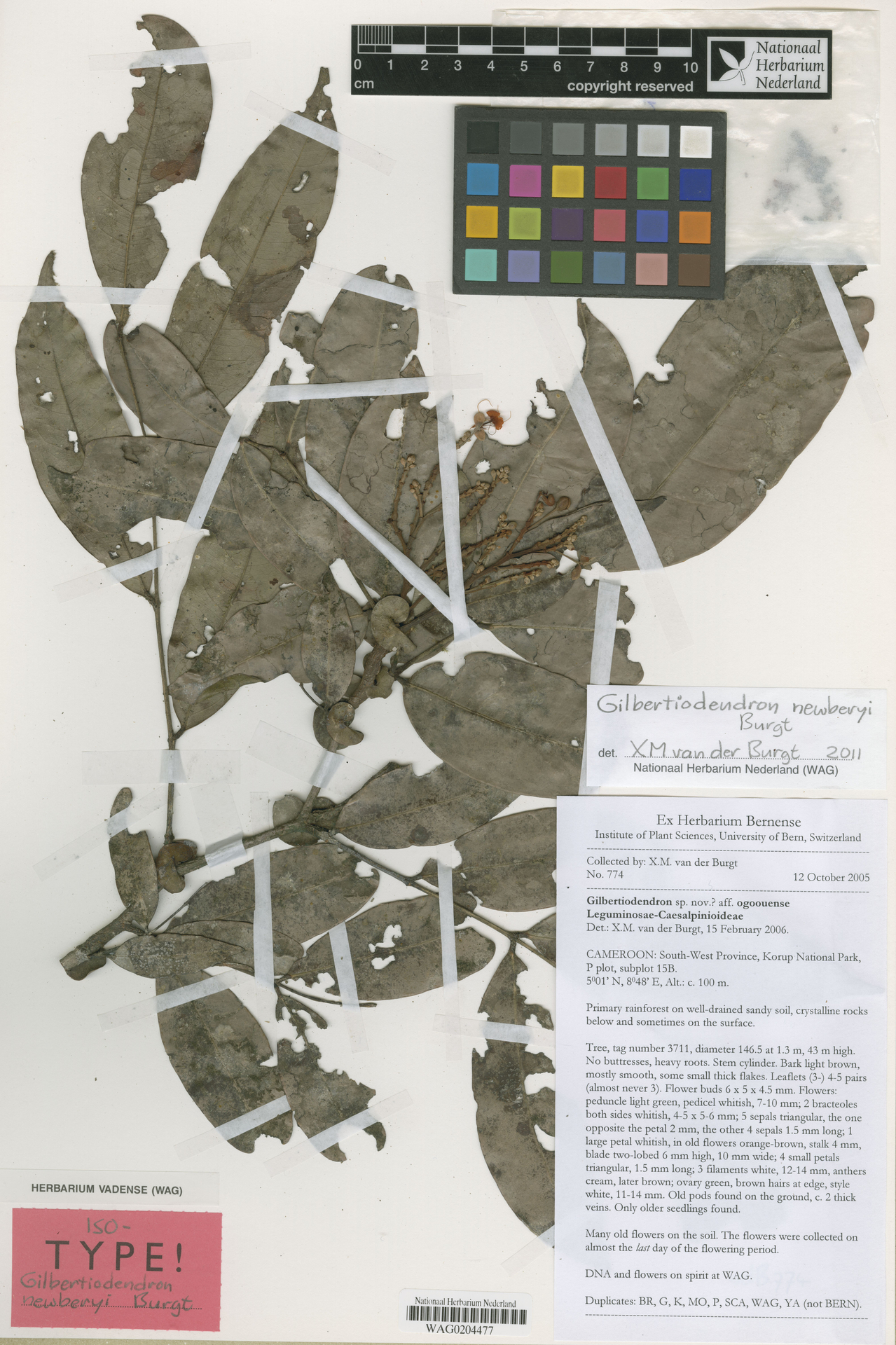 WAG0204477   Gilbertiodendron newberyi Burgt