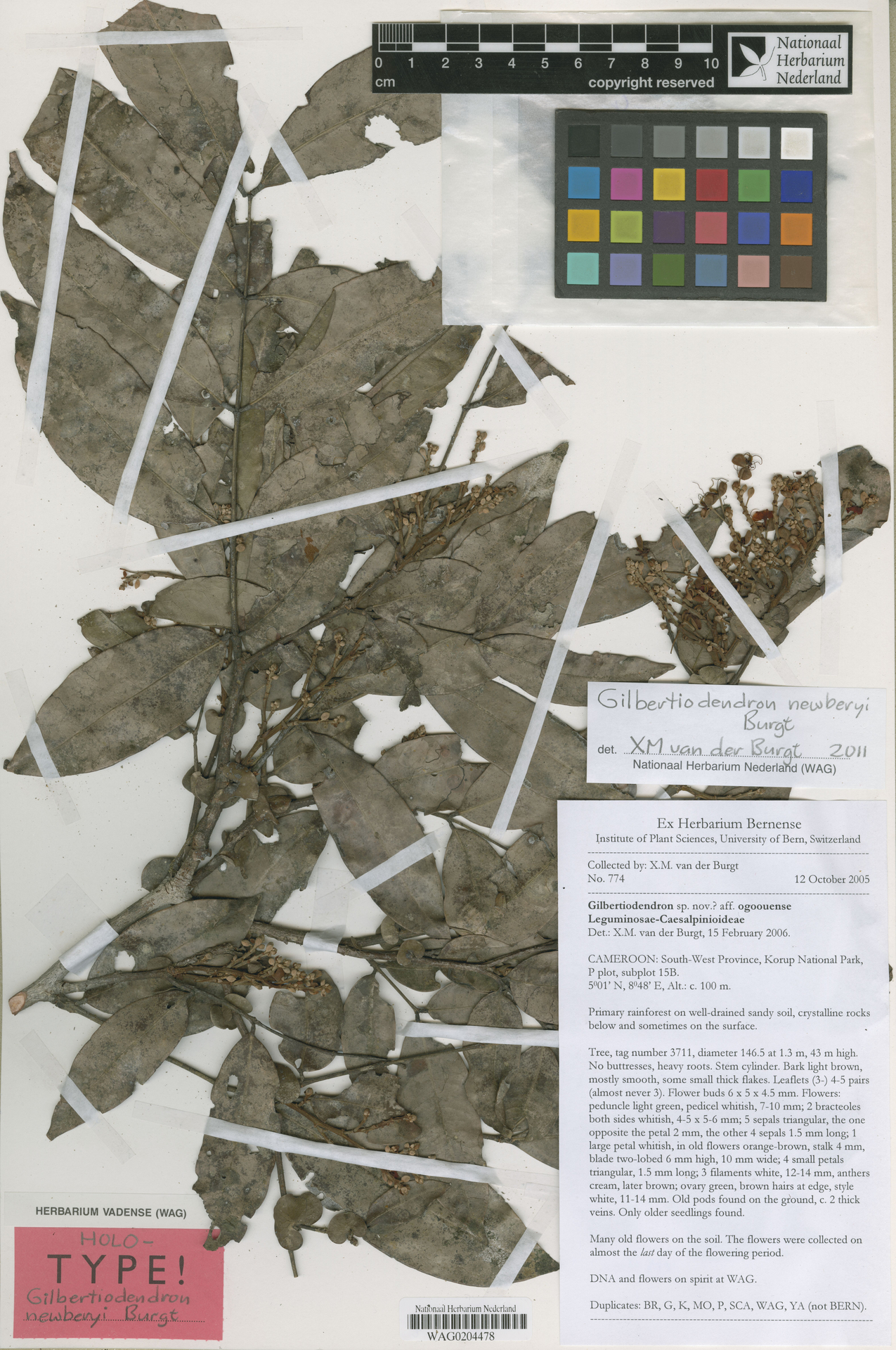 WAG0204478 | Gilbertiodendron newberyi Burgt