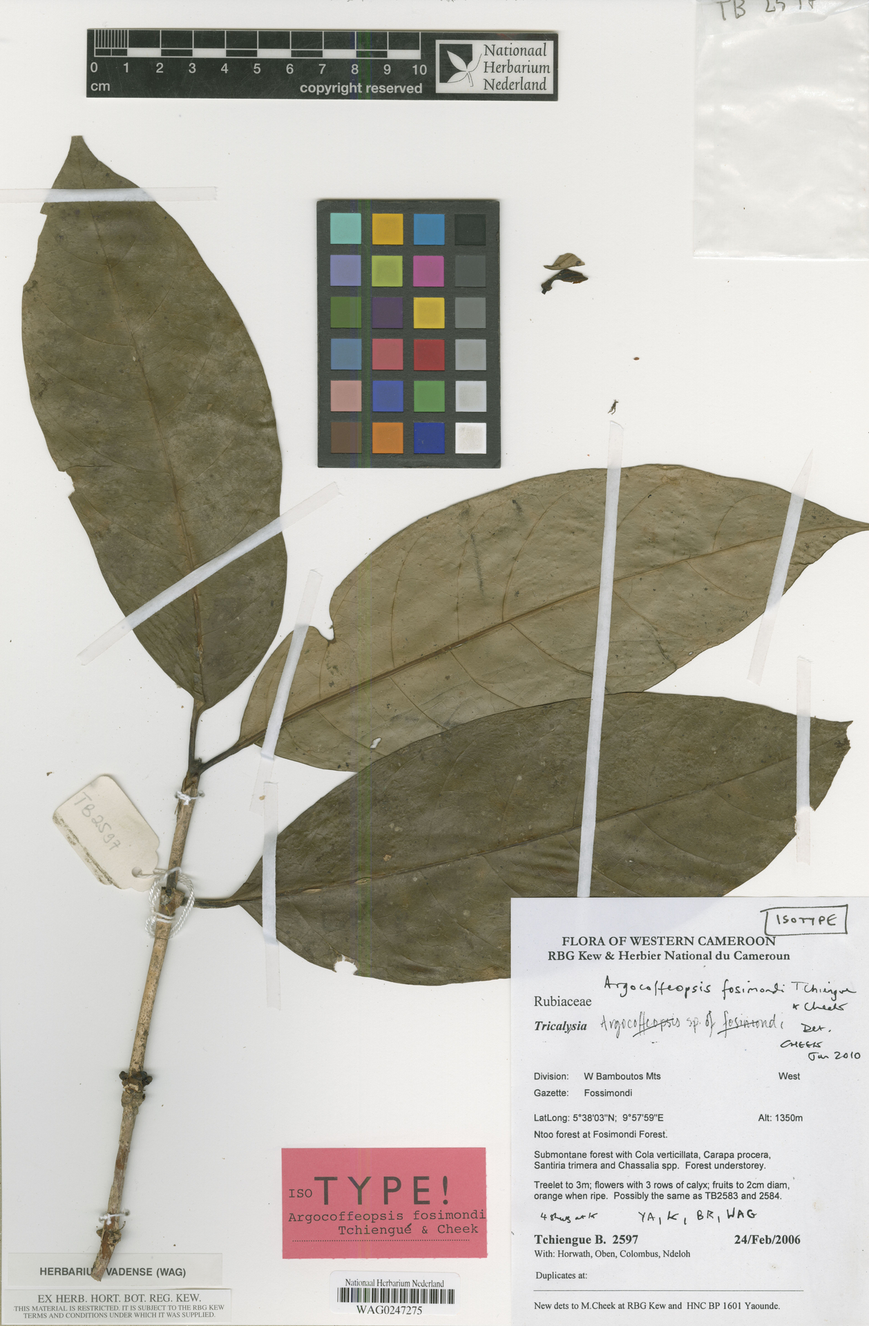 WAG0247275 | Argocoffeopsis fosimondi Tchiengué & Cheek