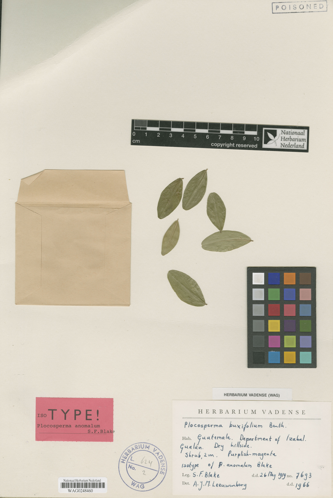 WAG0248460 | Plocosperma buxifolium Benth.