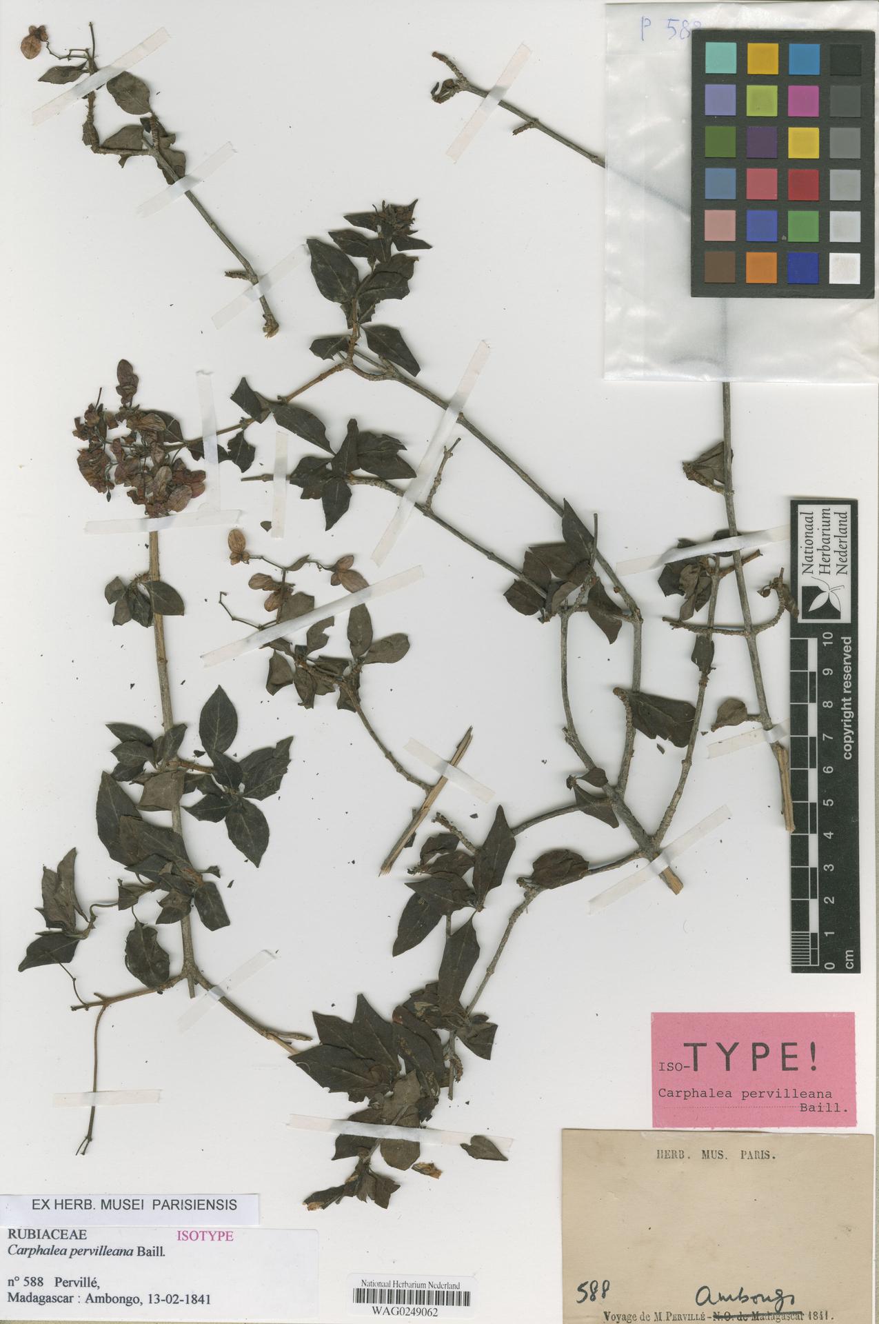 WAG0249062 | Carphalea pervilleana Baill.