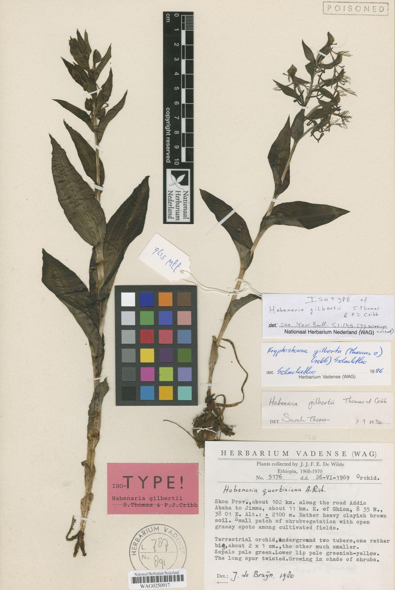 WAG0250917 | Habenaria gilbertii S.Thomas & P.J.Cribb