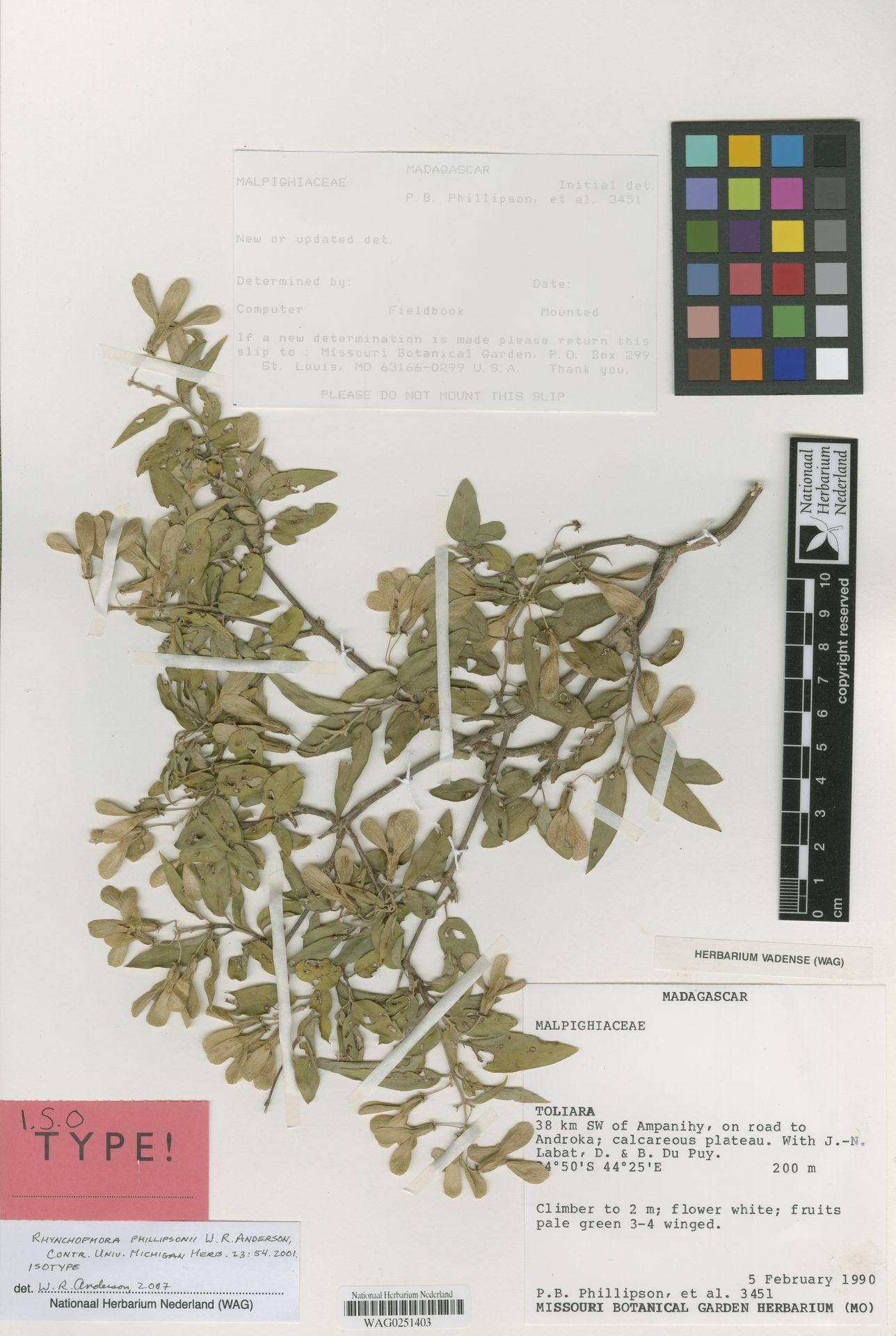 WAG0251403 | Rhynchophora phillipsonii W.R.Anderson