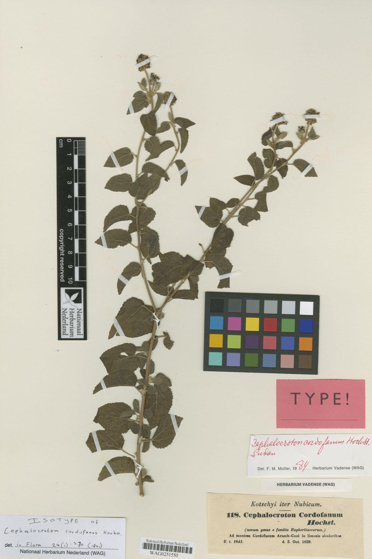 WAG0251550 | Cephalocroton cordofanus Hochst.