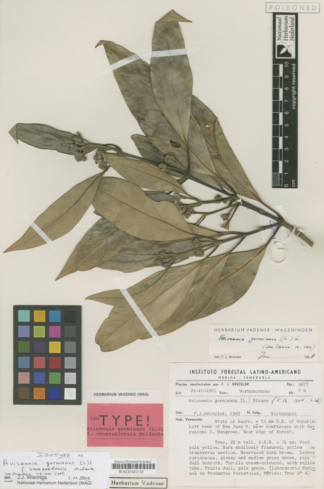 WAG0341110 | Avicennia germinans (L.) L.
