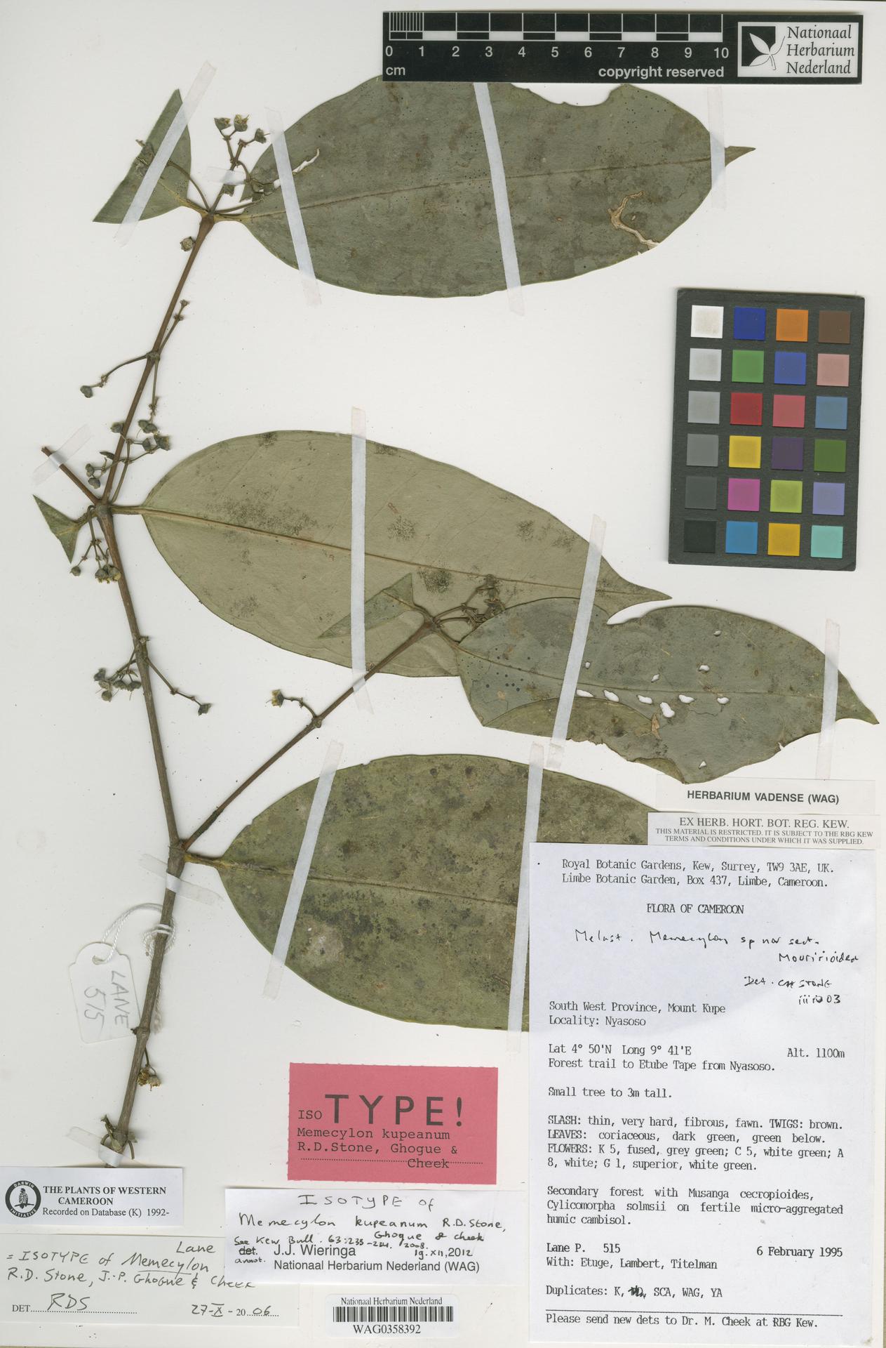 WAG0358392   Memecylon kupeanum R.D.Stone, Ghogue & Cheek
